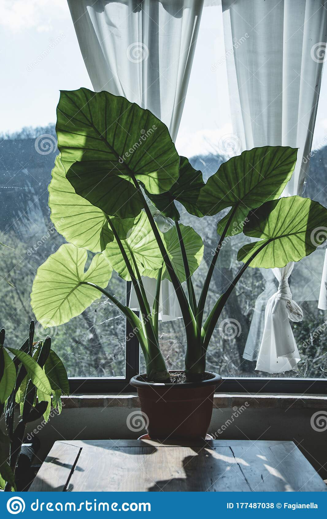 Elephant Ears Plants Indoor Stock Photo Image Of Feeling Plants 177487038