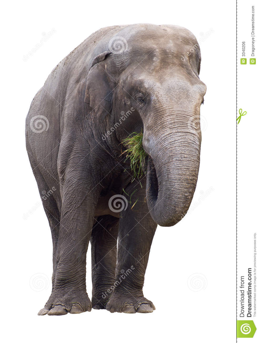Elephant Eating Grass Cutout Royalty Free Stock Image ...