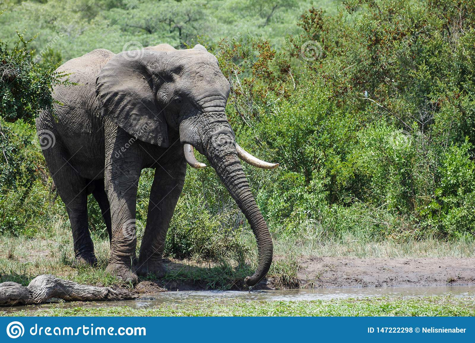 Elephant drinking water with his trunk.