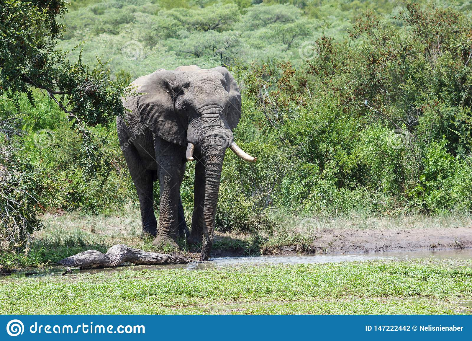 Elephant standing at a watering hole surrounded by lush green vegetation.
