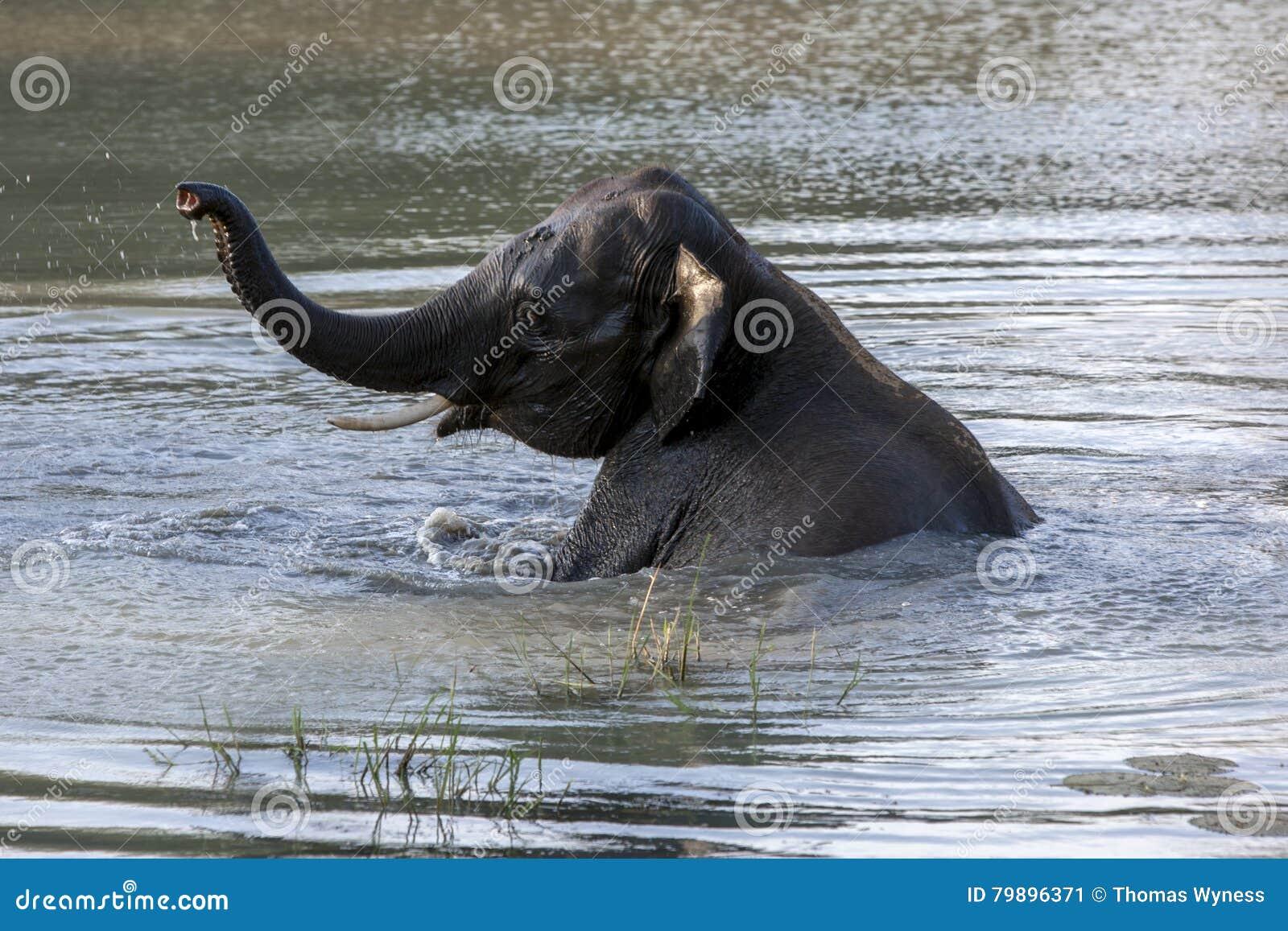 An elephant enjoys a bath in a water hole in Yala National Park near Tissamaharama in Sri Lanka.
