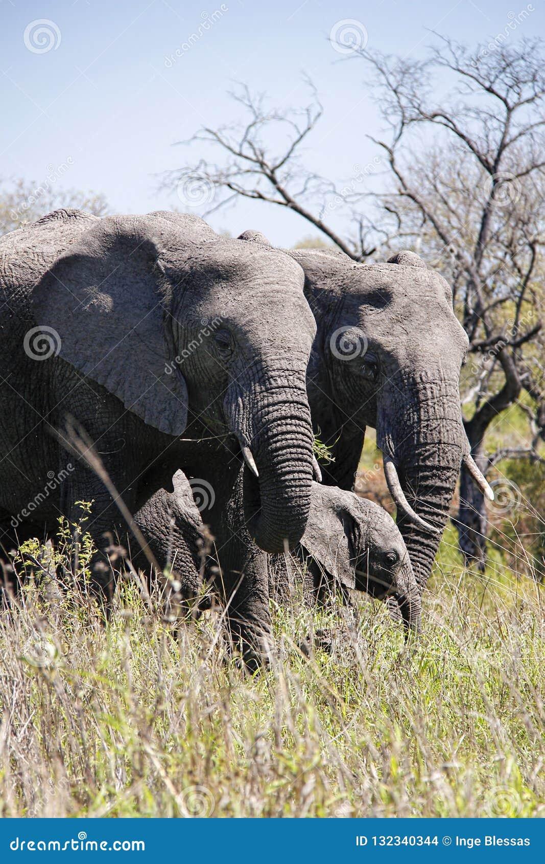 Elephant family in African bush.