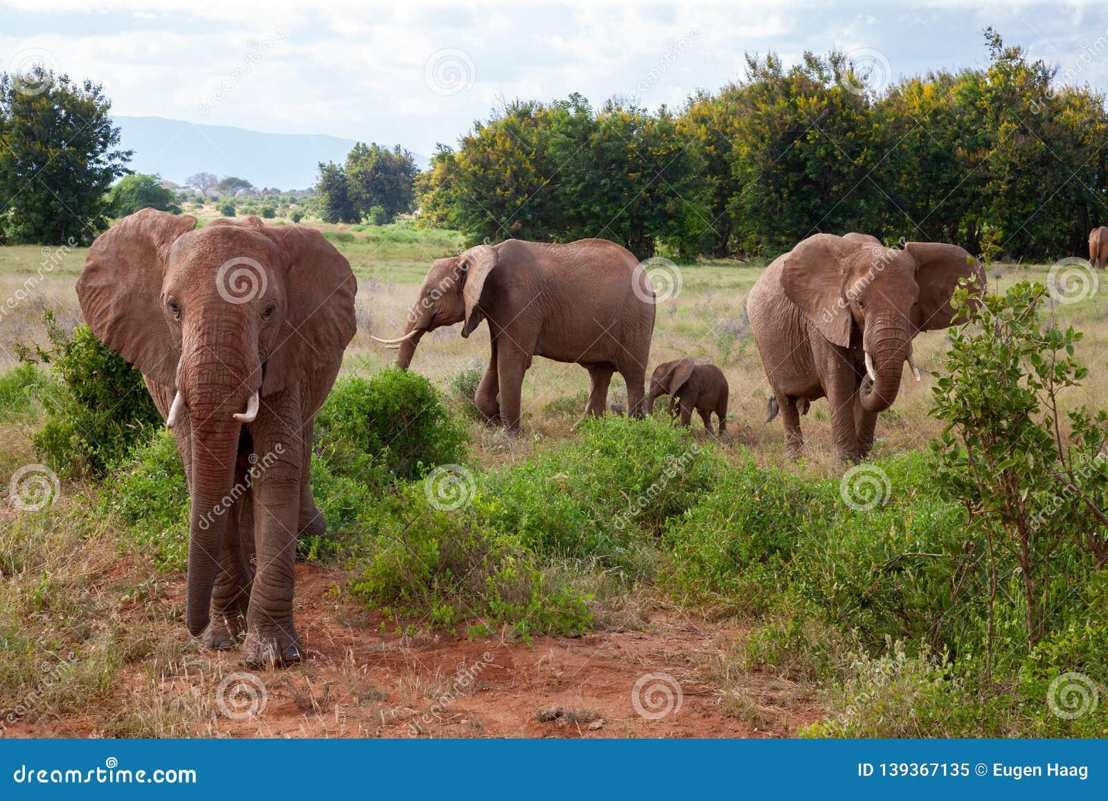 A elephant family in the bush of the samburu national park