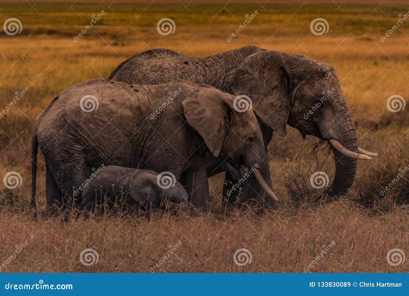 Elephant family of the Serengeti Plains