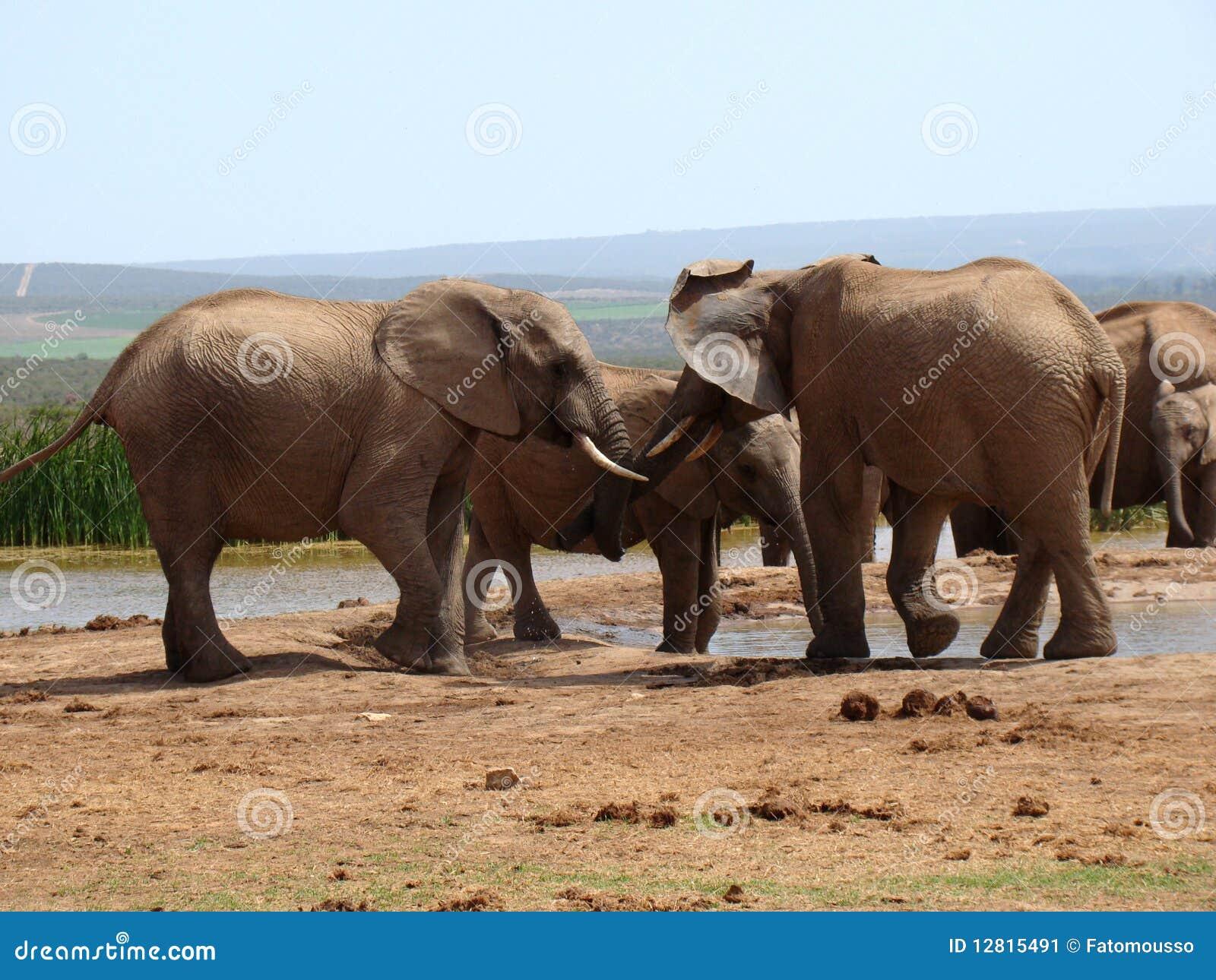 large african bull elephant royalty free stock photos - image