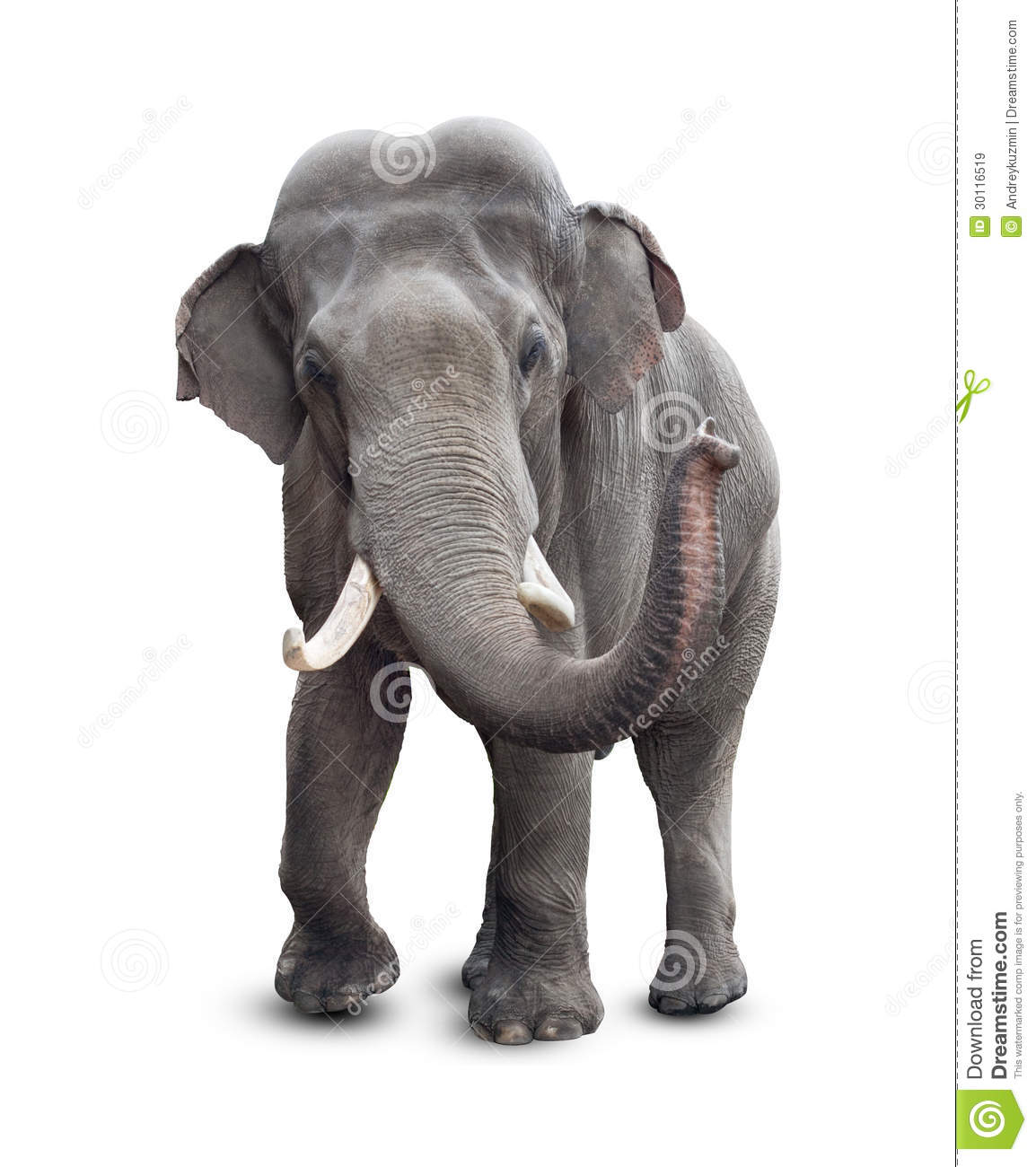 Elephant front view with clipping path royalty free stock images image 30116519 - Image elephant ...