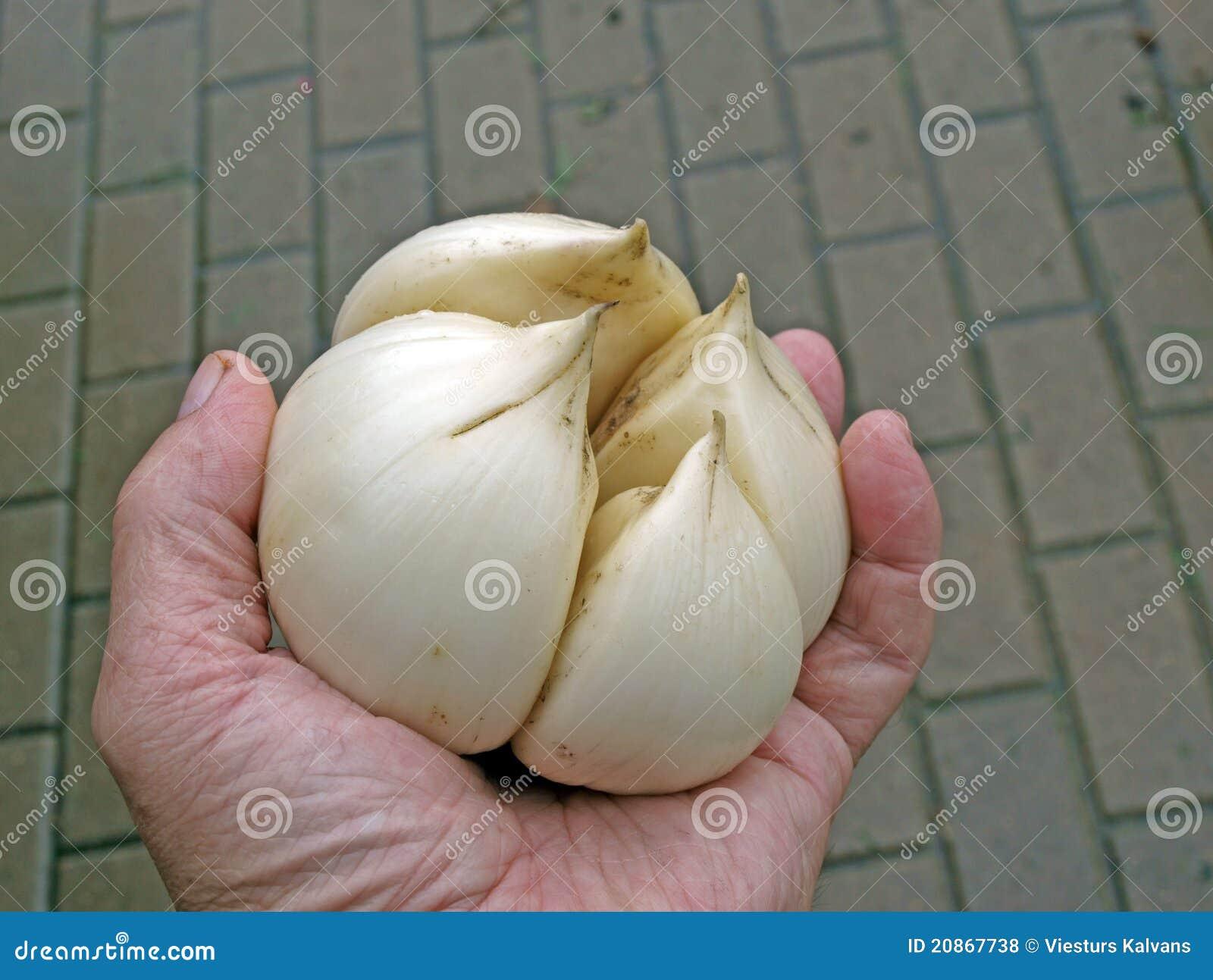 Elephant garlic (Allium ampeloprasum) 2