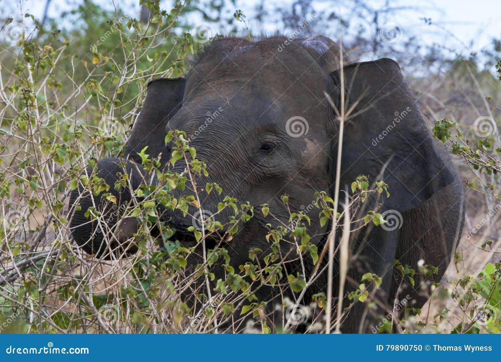 An elephant grazing amongst bushland in the Uda Walawe National Park in Sri Lanka.