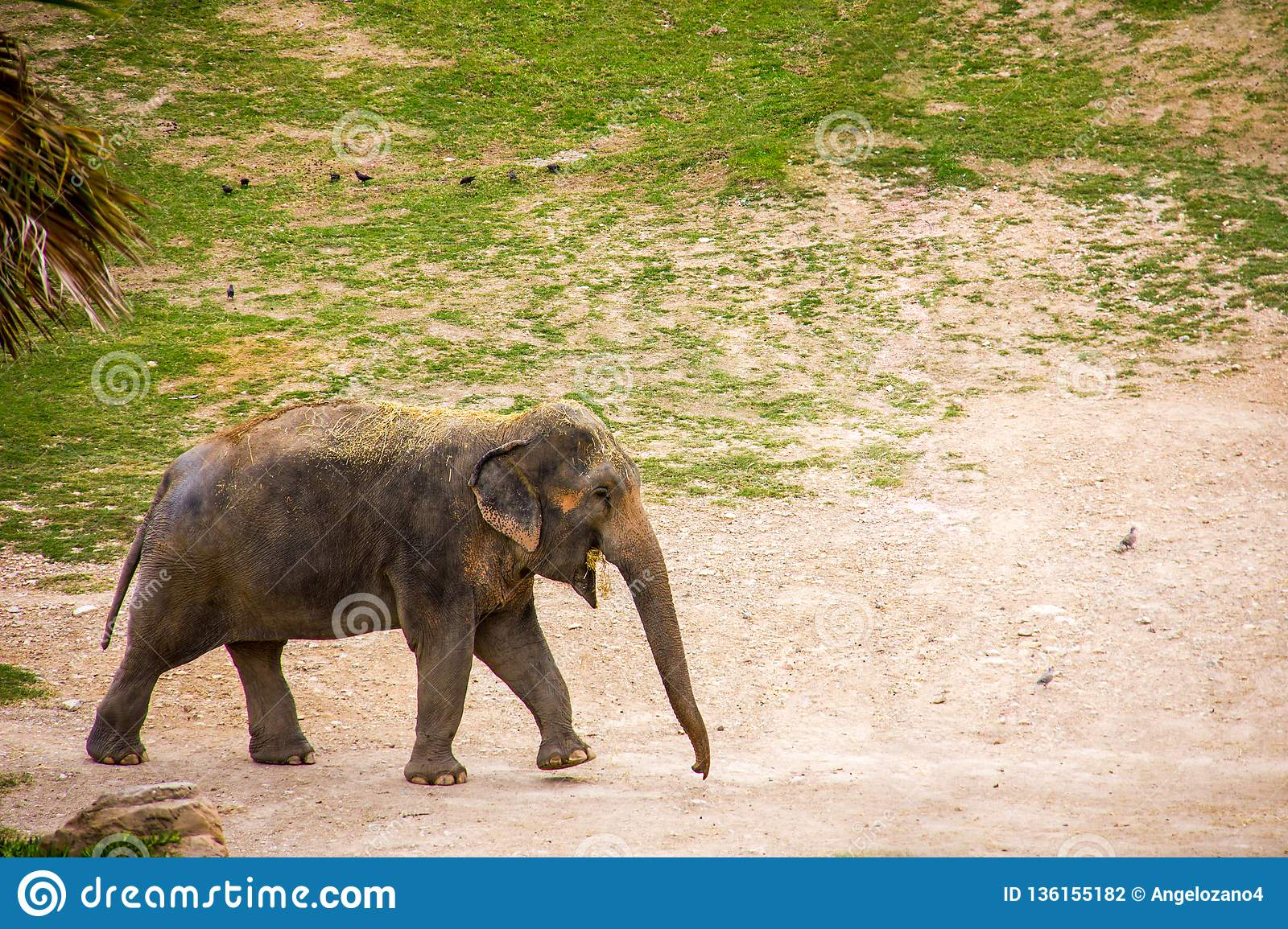 Elephant grazing and eating grass