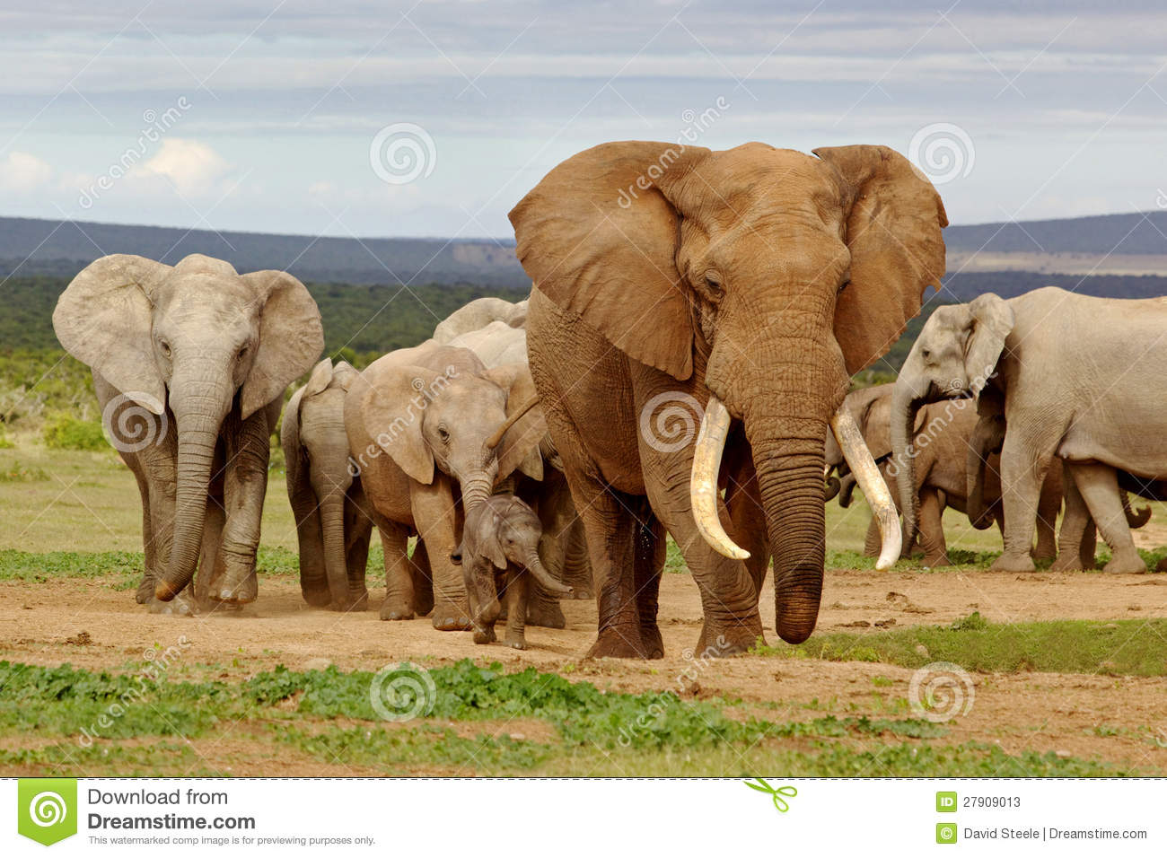 Herd Of Wild Elephants With Trees Illustration Royalty Free Cliparts,  Vectors, And Stock Illustration. Image 72580976.