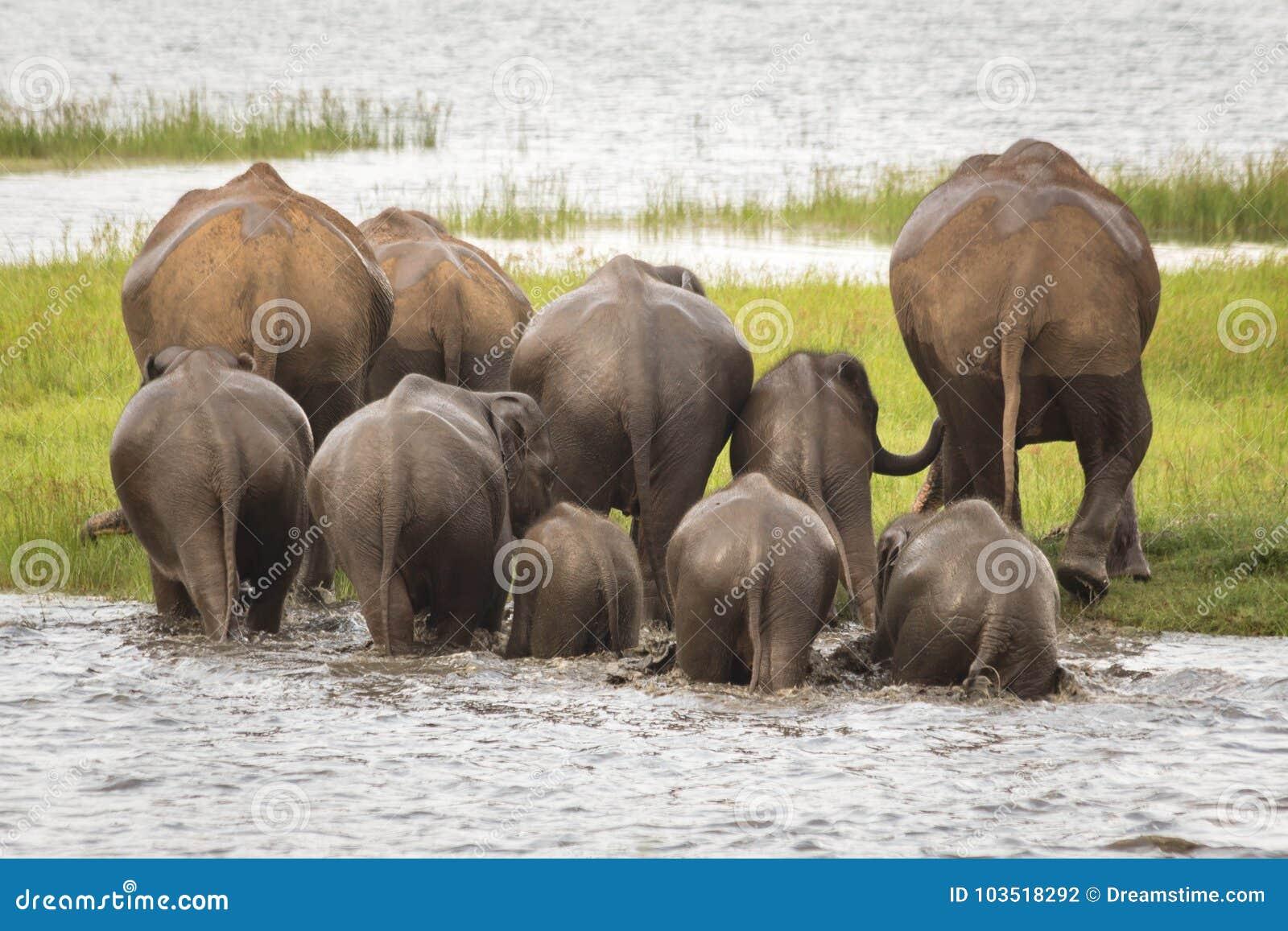 Elephant herd bathing at Minneriya National Park, Sri Lanka