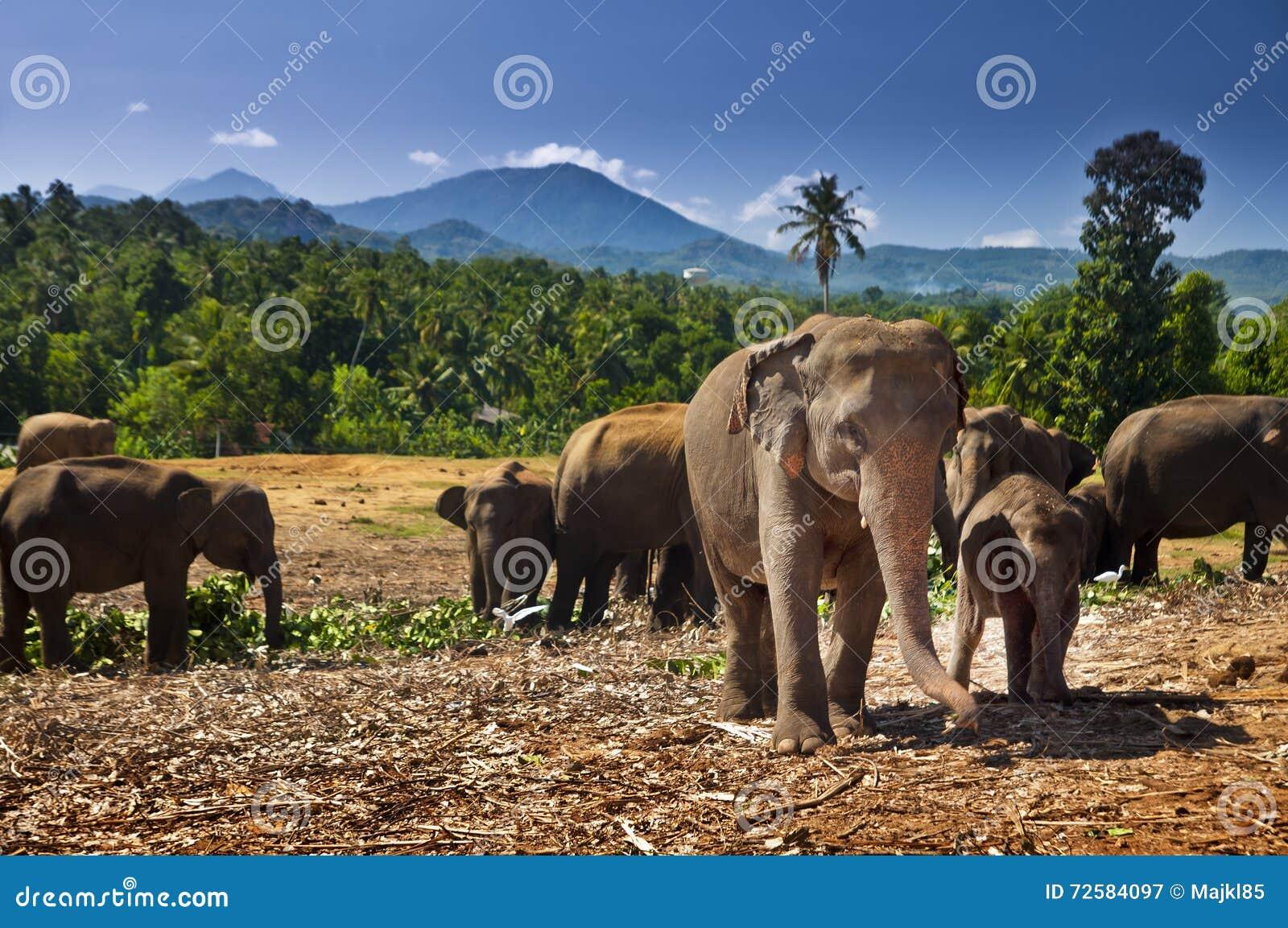 Elephant herd, Sri Lanka