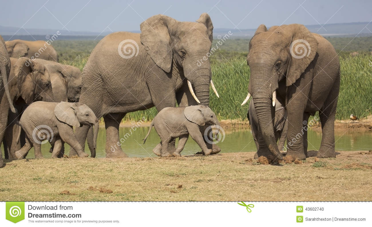 Download Elephant Herd With 2 Tiny Babies Stock Photo - Image of love, cute: 43602740