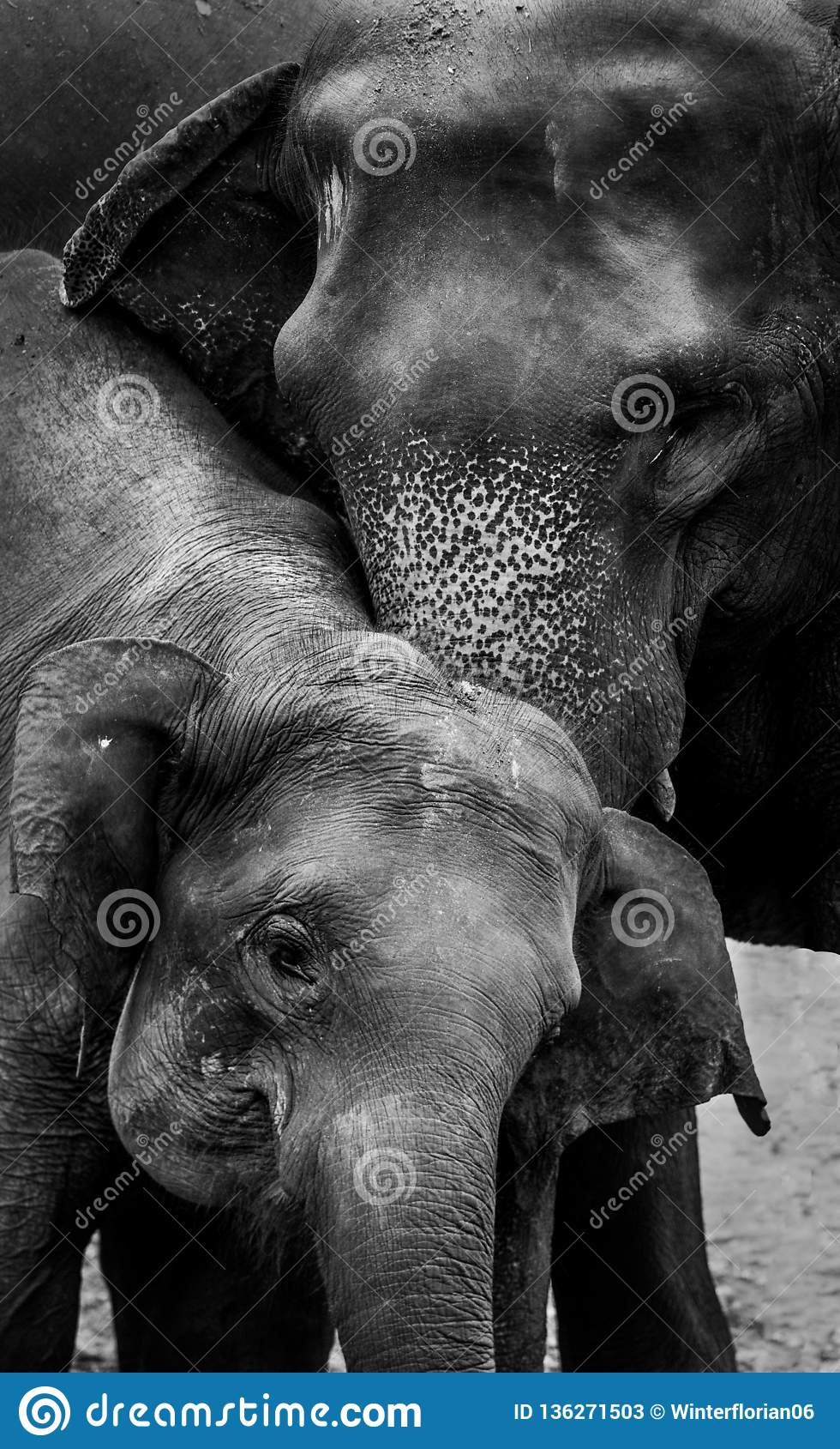 Elephant and his mother