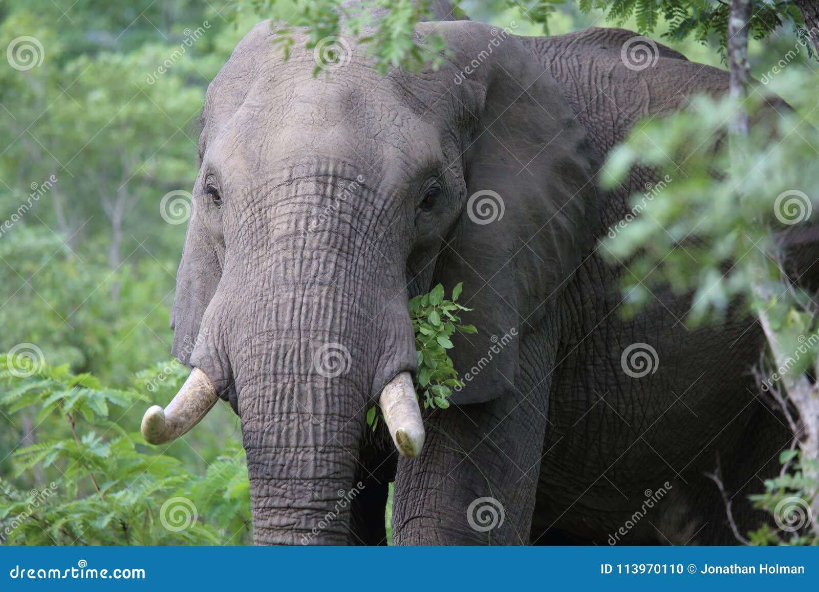 Elephant in Hwage National Park, Zimbabwe, Elephant, Tusks, Elephant`s Eye Lodge