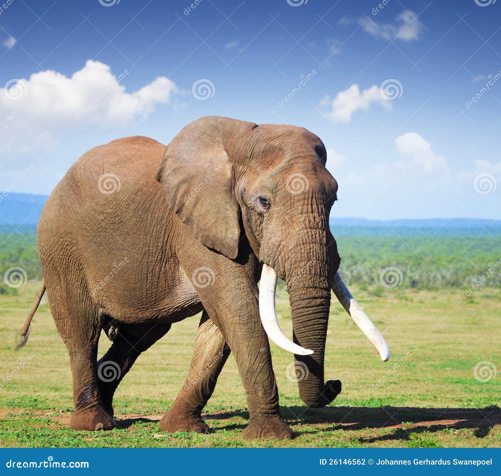Elephant with large tusks stock photo image of stand 26146562 - Image elephant ...