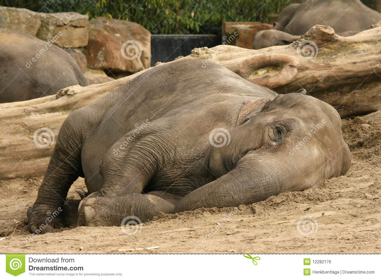 Elephant Laying On The...