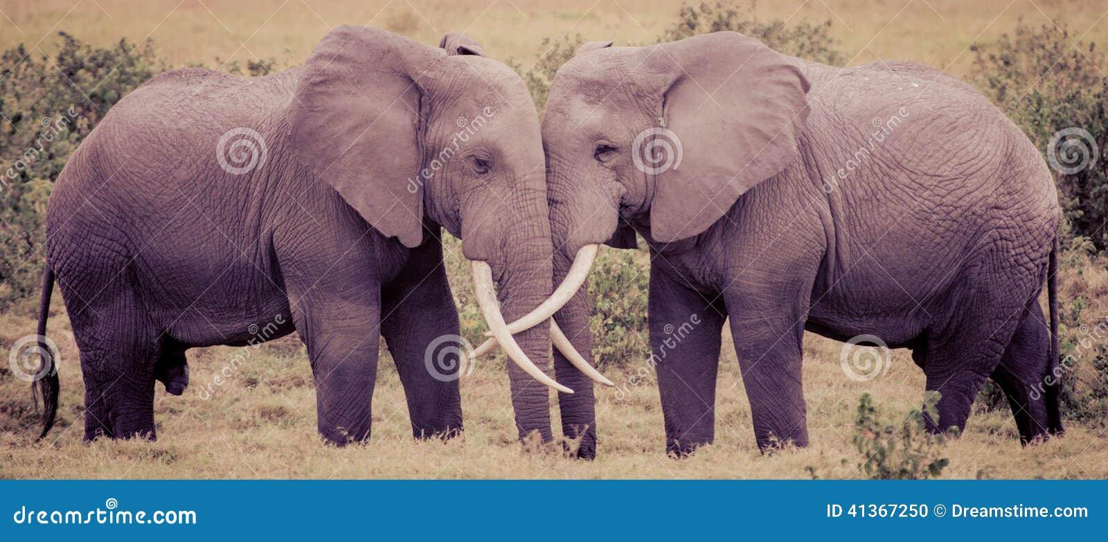 Elephant Love stock photo. Image of antique, amboseli ... - photo#38