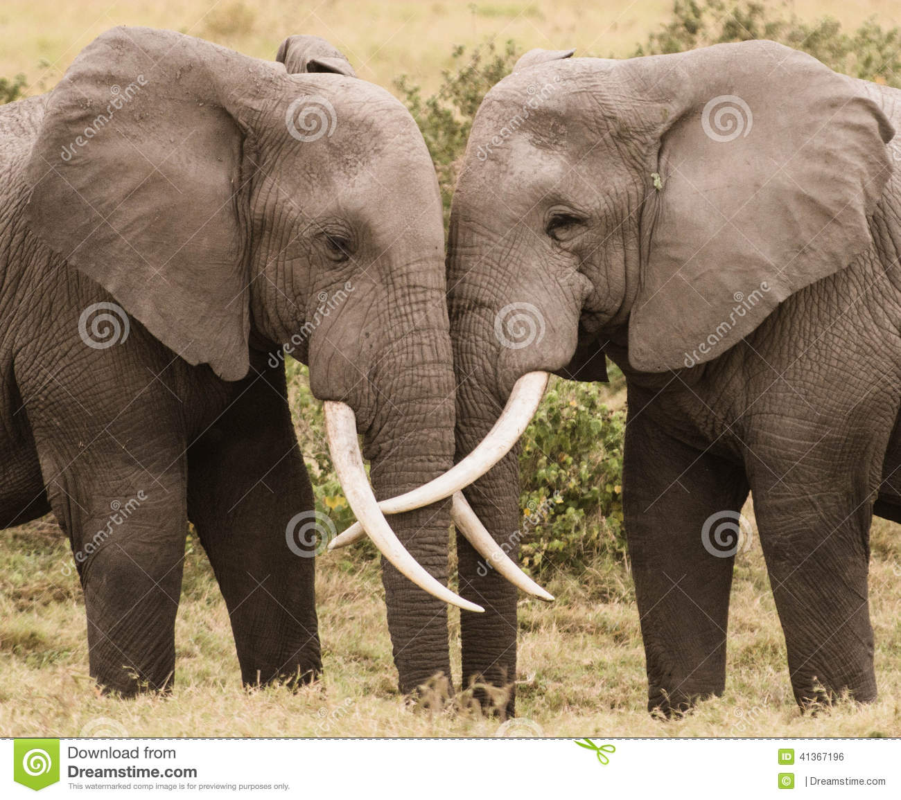 Elephant Love stock photo. Image of amboseli, nothings ... - photo#46