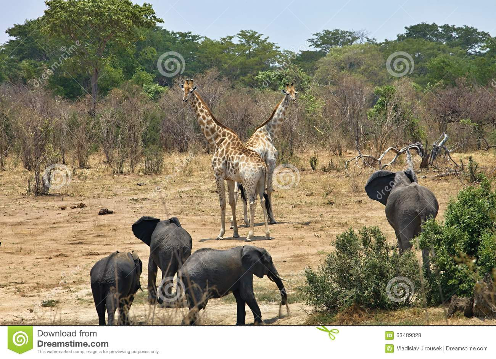 Elephant, Loxodonta africana, in Hwange National Park, Zimbabwe