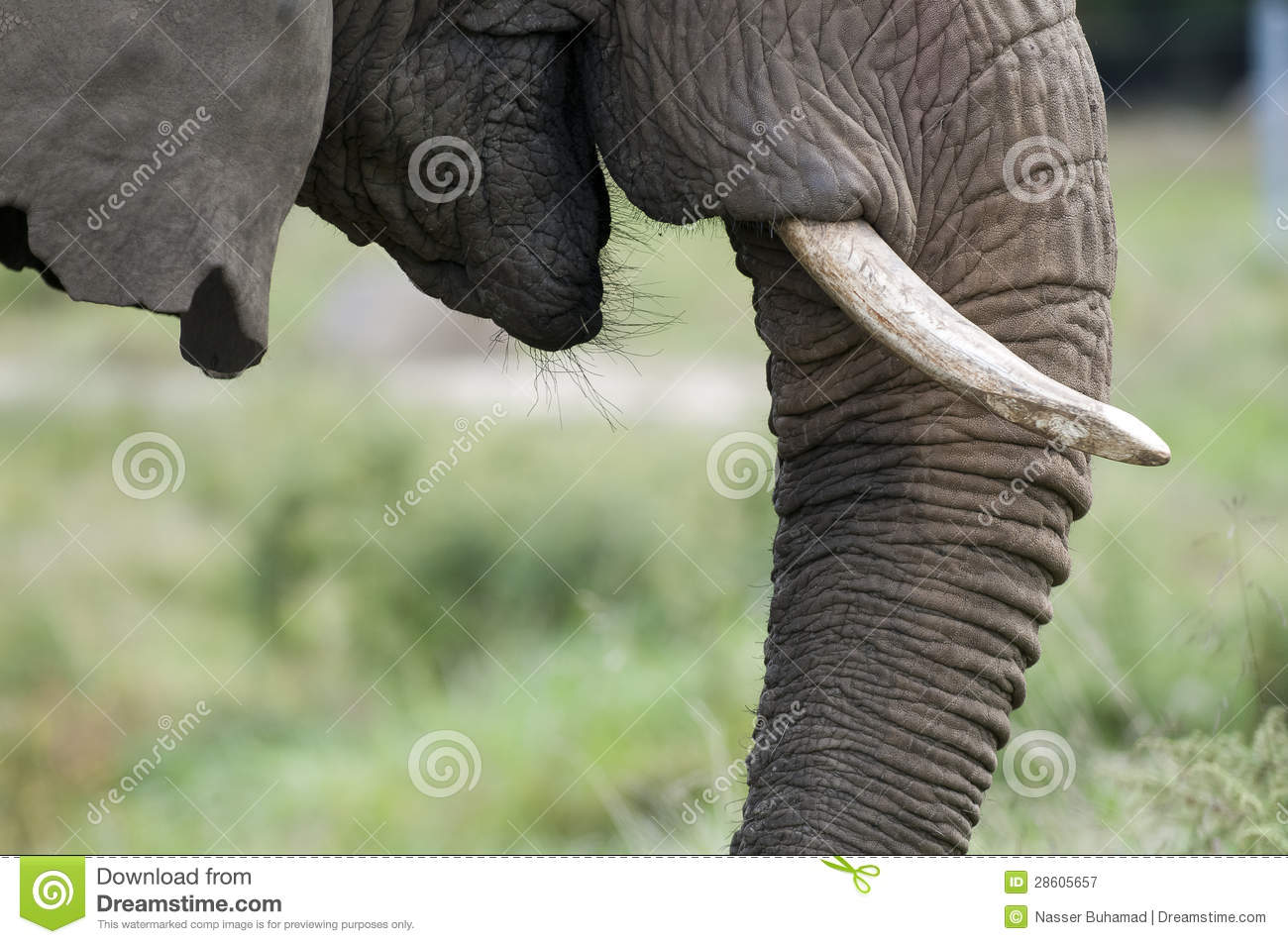 Elephant Nose With Tusks Royalty Free Stock Photography - Image ...