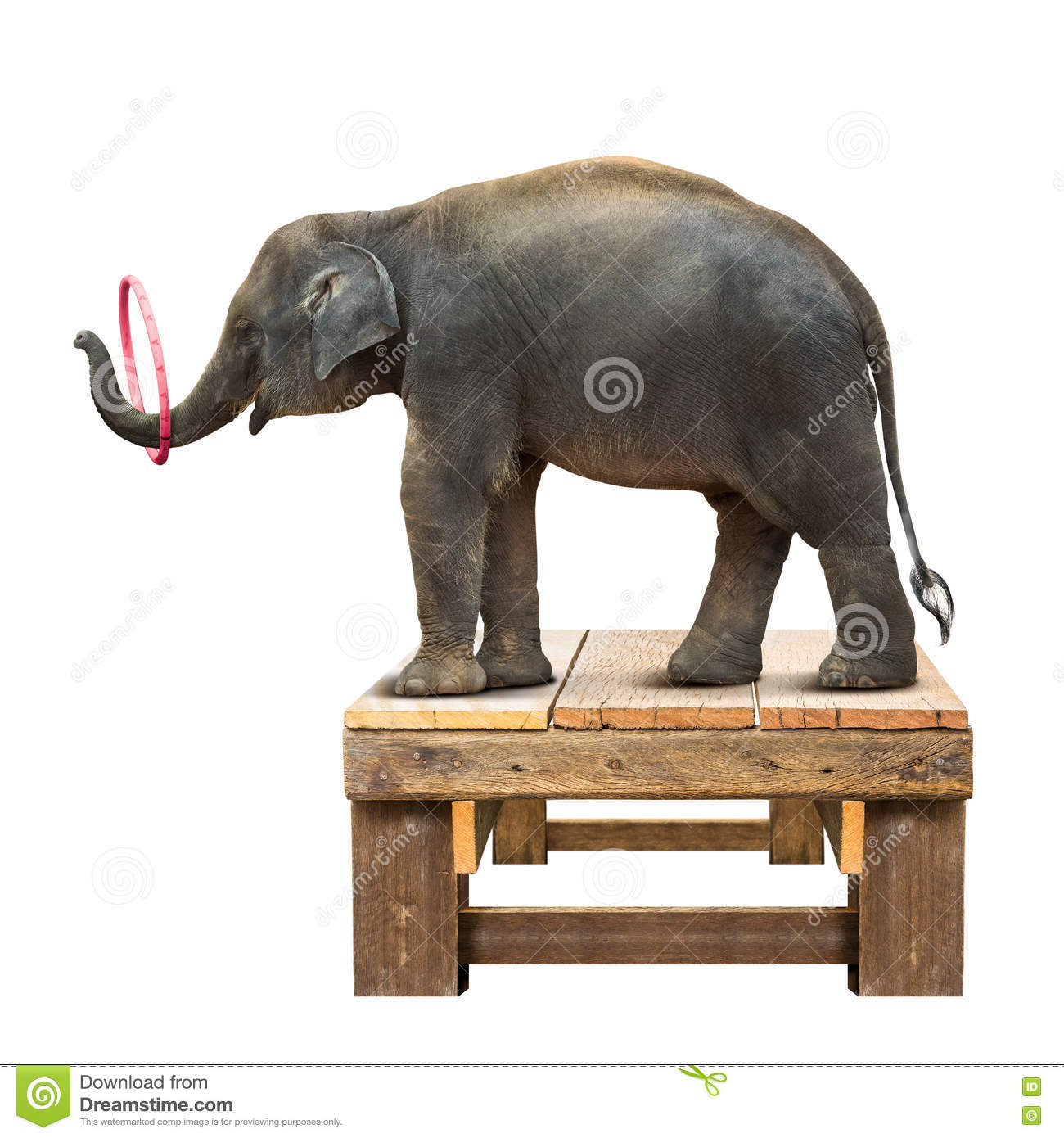 Elephant Playing Hulahoop Stock Photo Image Of Herbivores 79539270