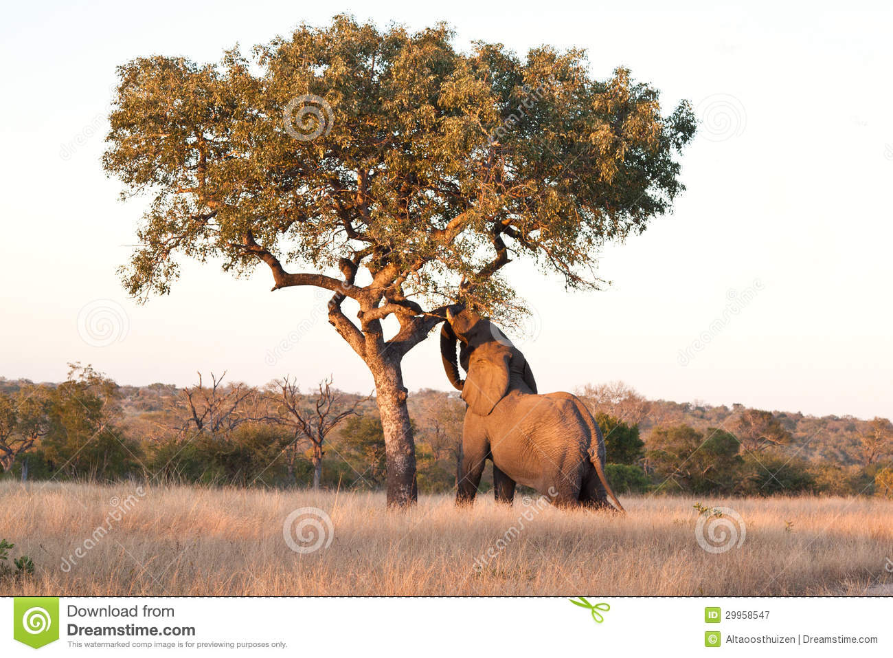 elephant push marula tree stock image image of marula 29958547. Black Bedroom Furniture Sets. Home Design Ideas