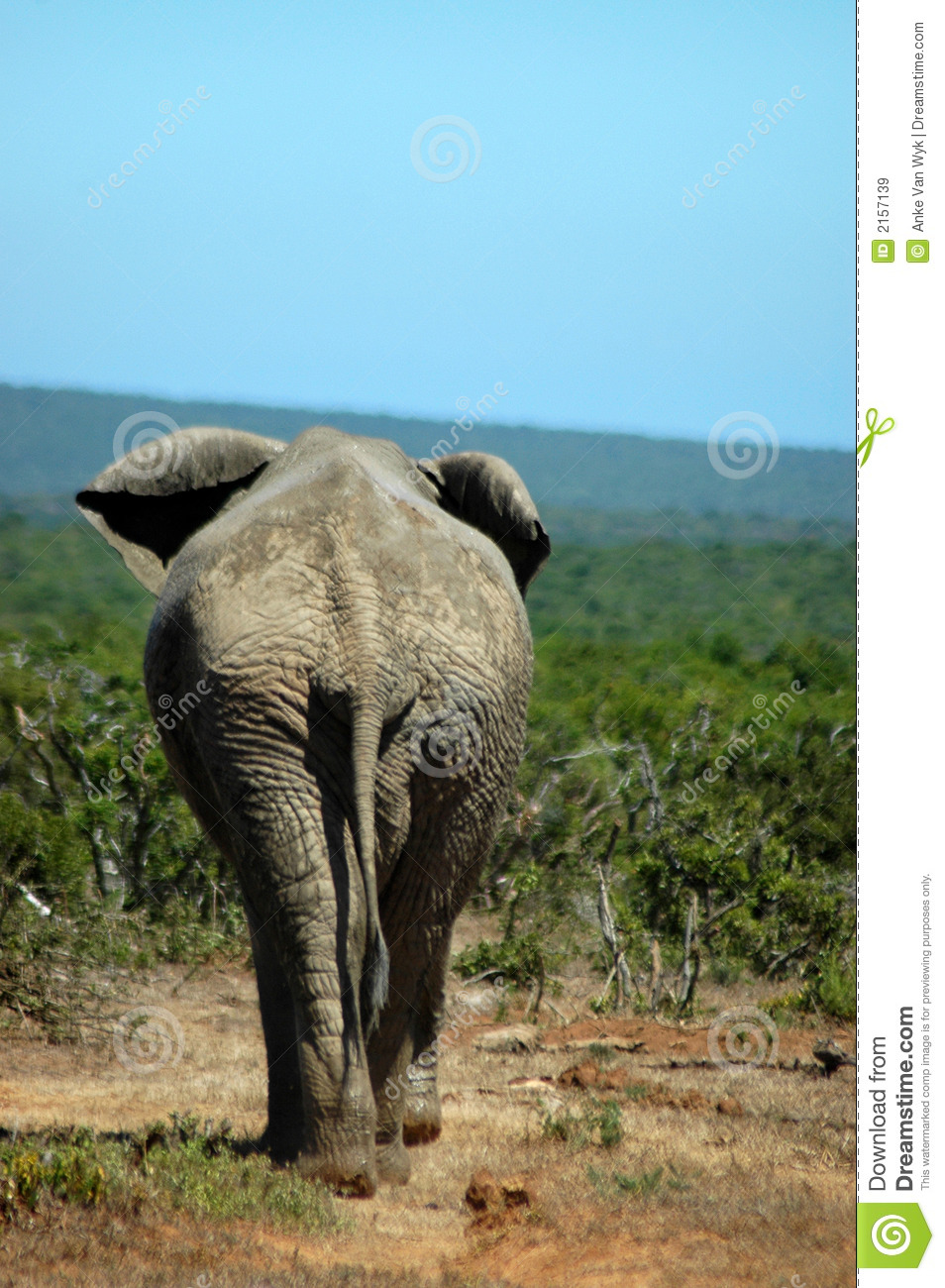 Extended Rear Facing >> Elephant rear stock image. Image of africas, enormous ...
