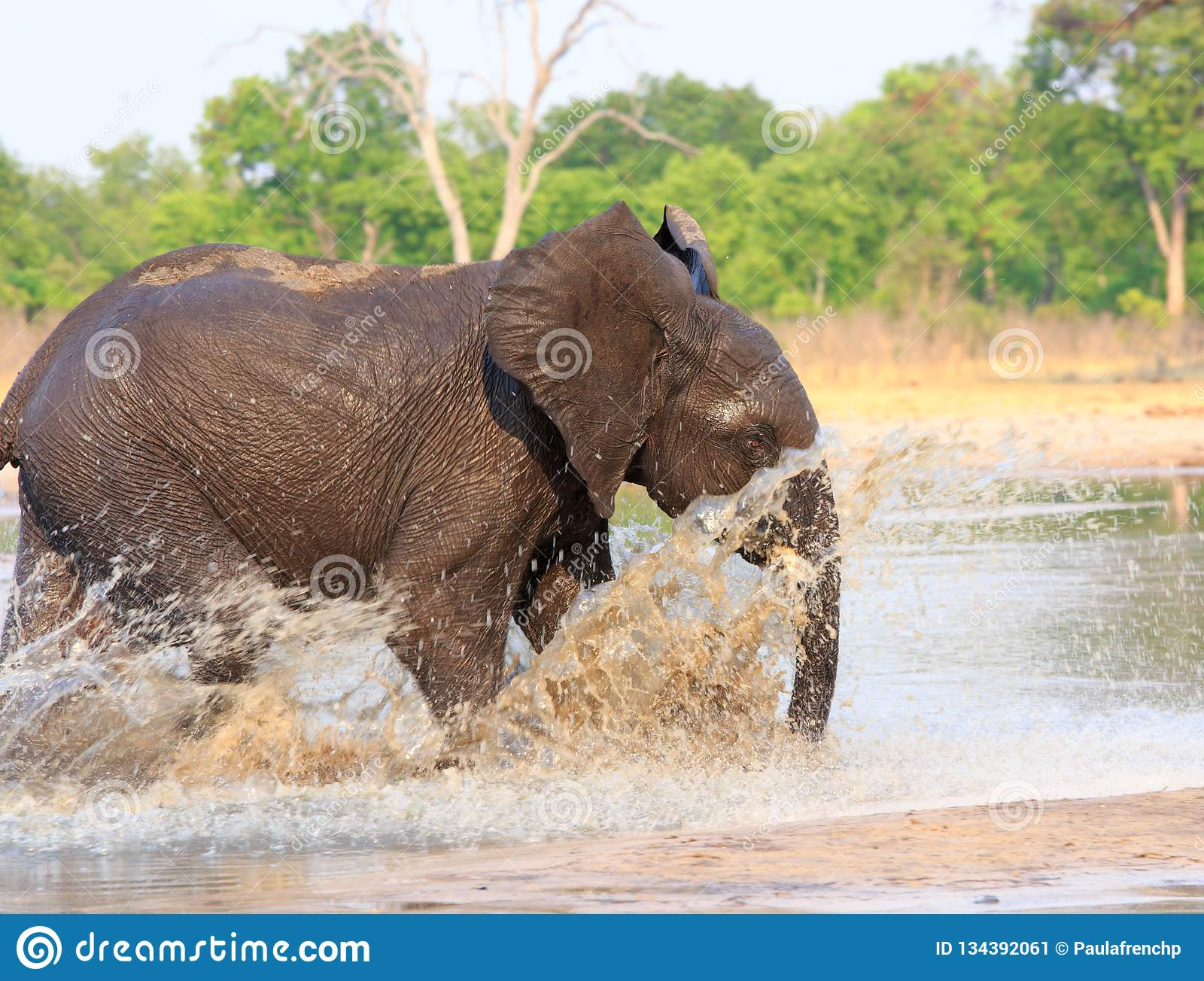 Elephant running through the water with lots of splashing in Hwange National Park