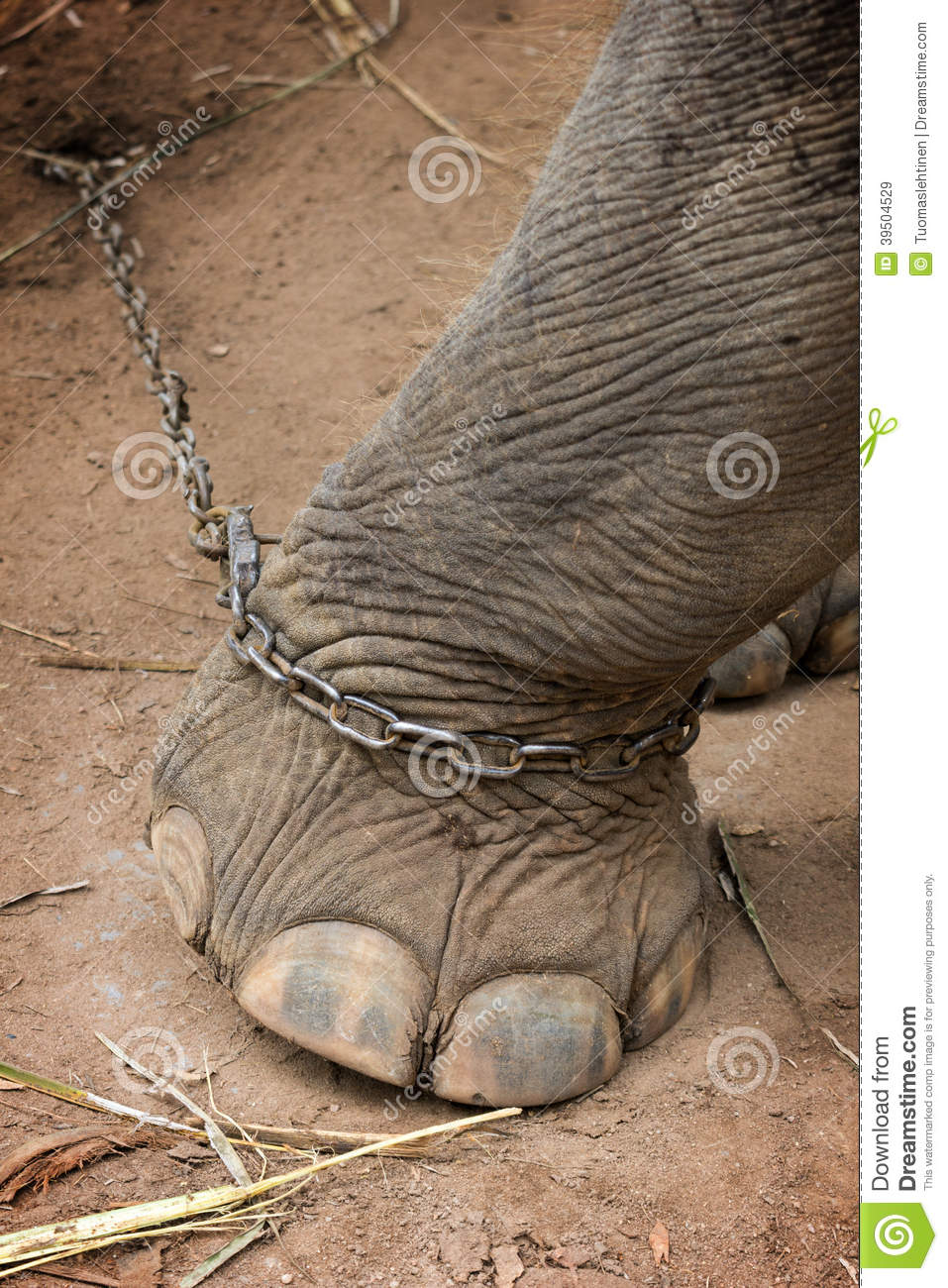 Elephants foot tied to a metal chain