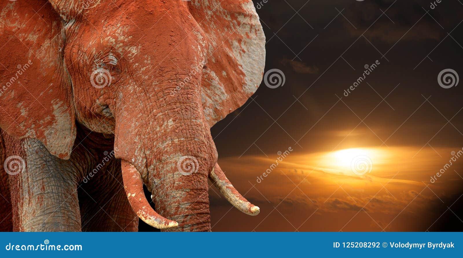 Elephant on savannah in Africa on sunset