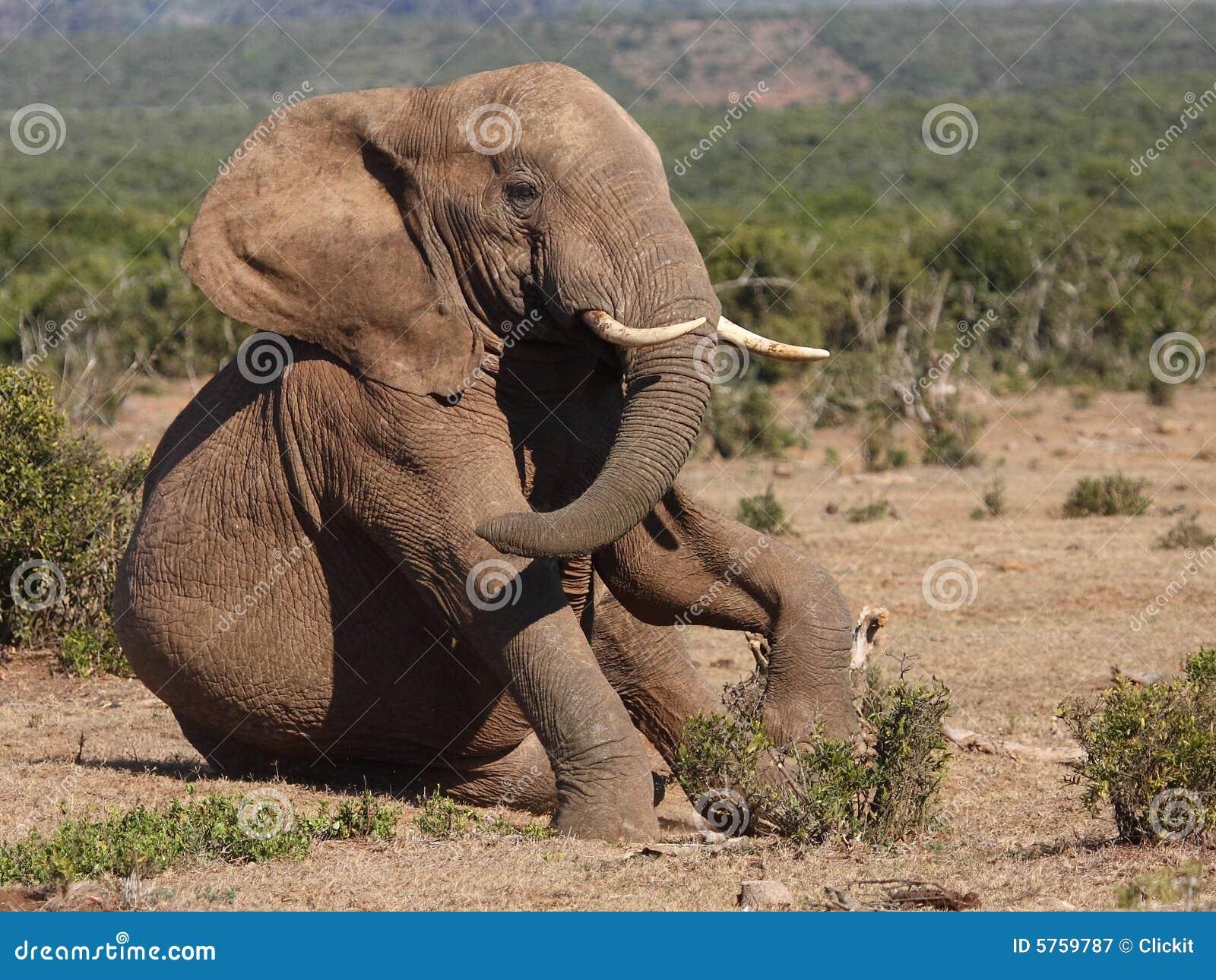 Elephant Sitting. Royalty Free Stock Photography - Image ...