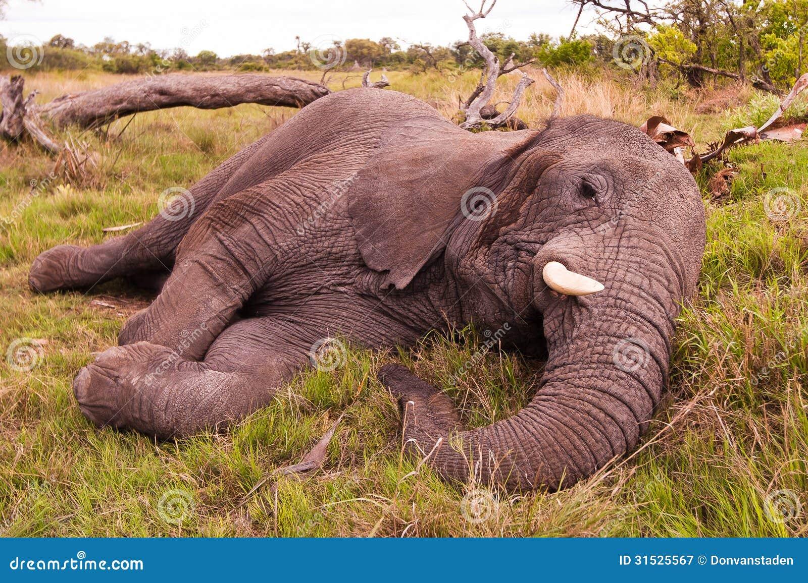 elephant sleeping royalty free stock photography image 31525567