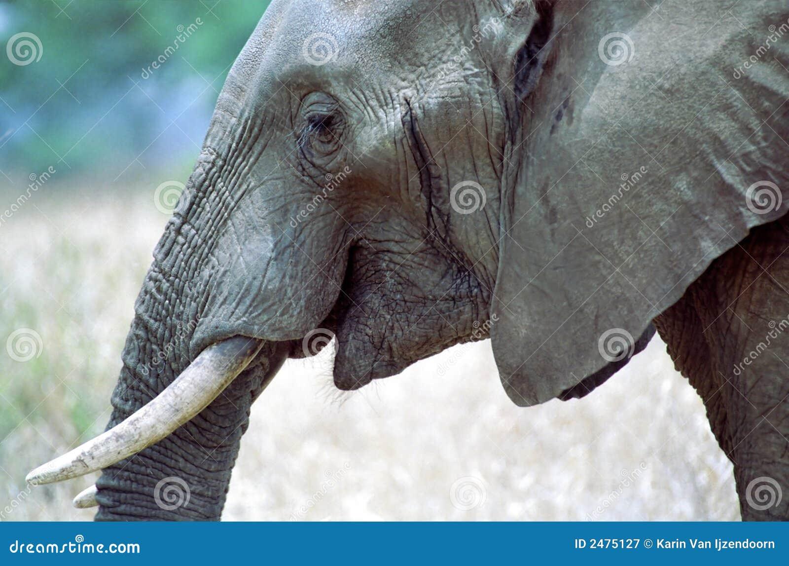 Elephant Smiling Royalty Free Stock Photography - Image ...