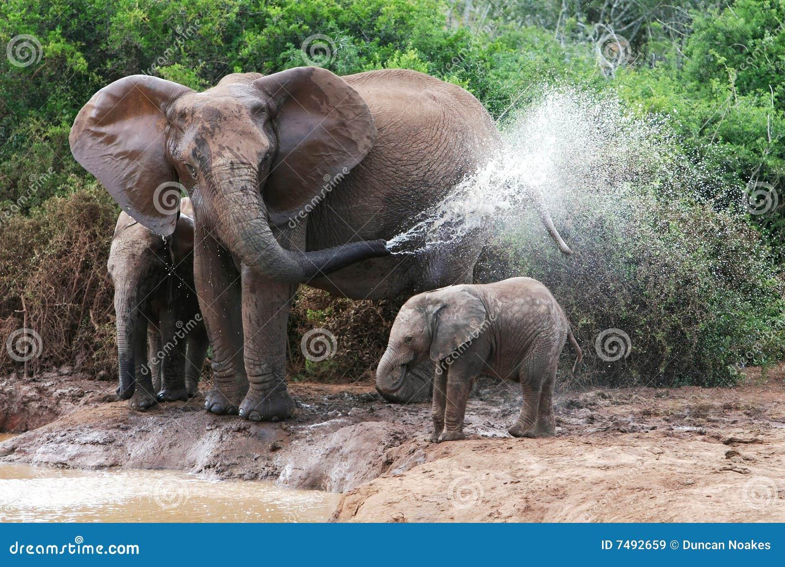 Elephant spraying water - photo#1