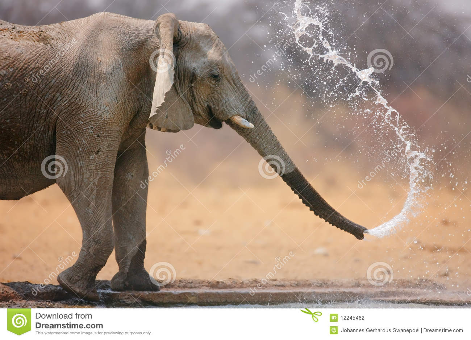 Elephant throwing water