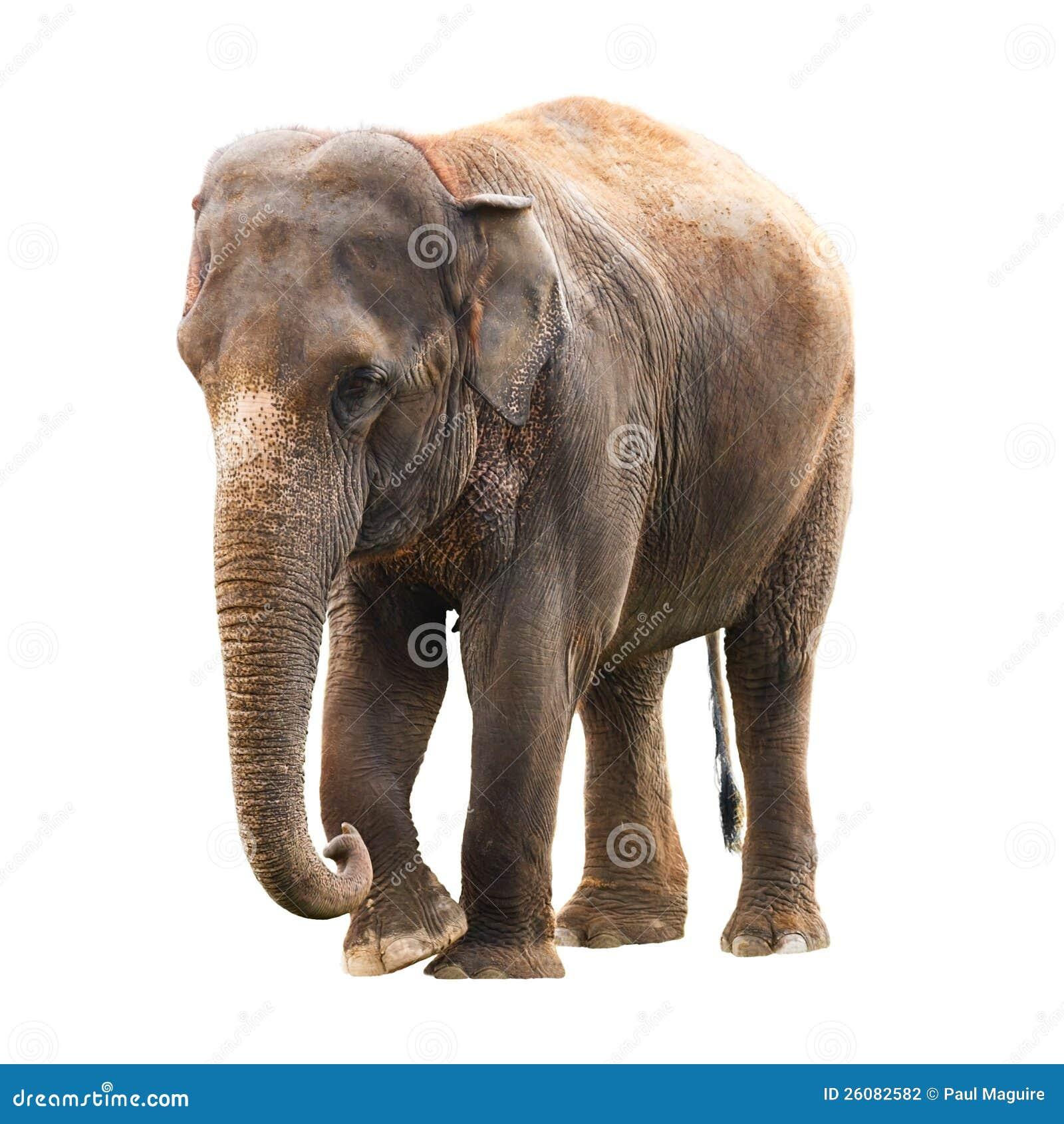 elephant white background stock photo image of elephants