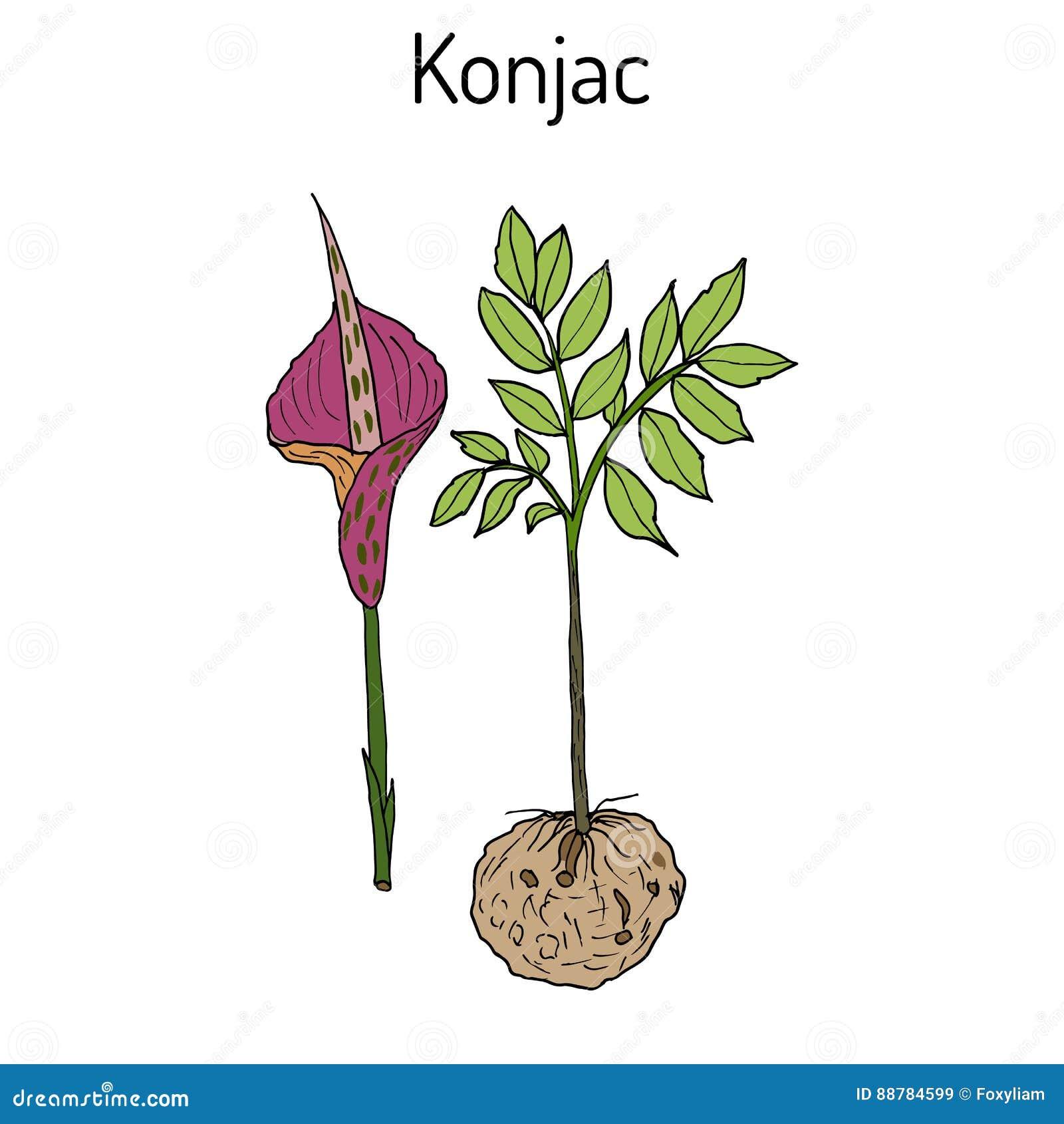 elephant yam or konjac plant konnyaku potato devil s