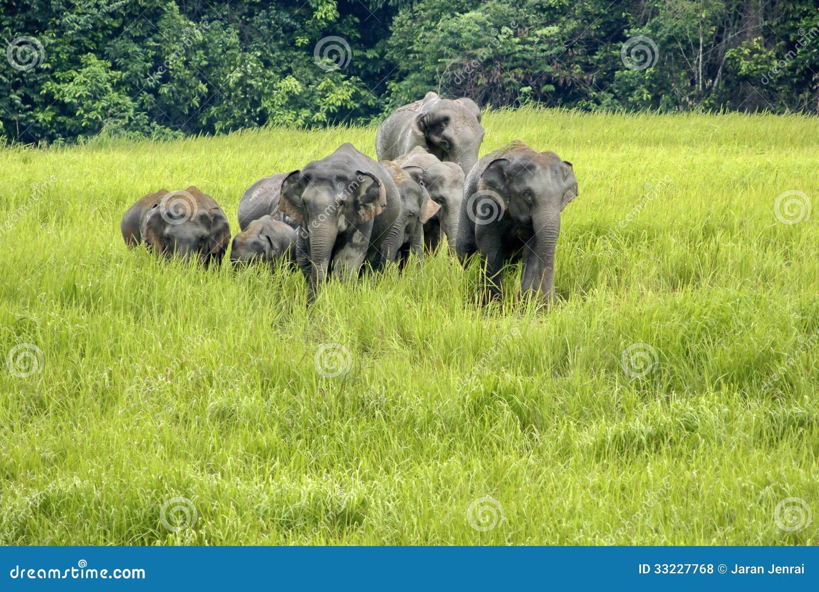 Elephants Asia Royalty...