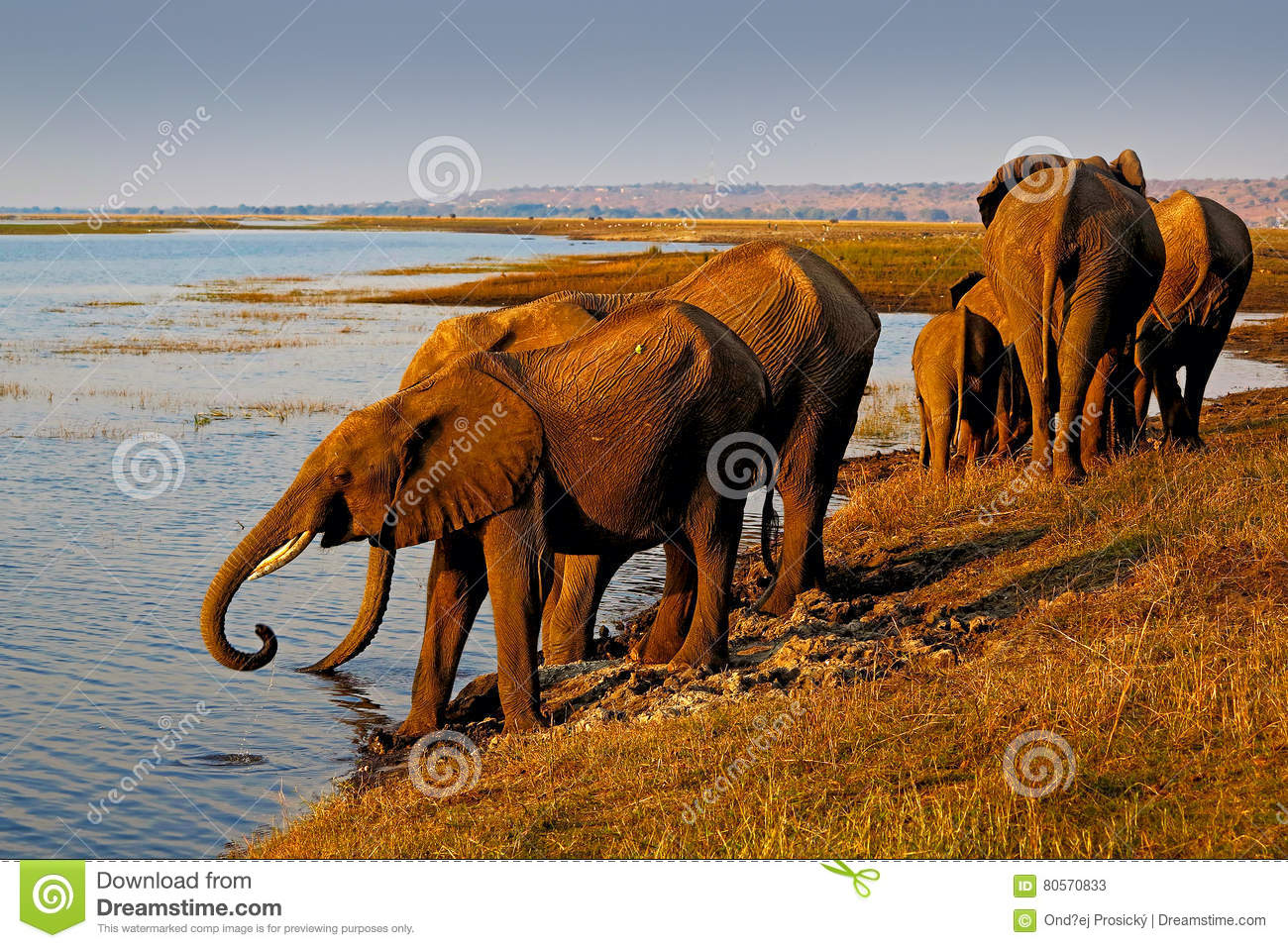 Elephants drinking water. African elephants drinking at a waterhole lifting their trunks, Chobe National park, Botswana, Africa.