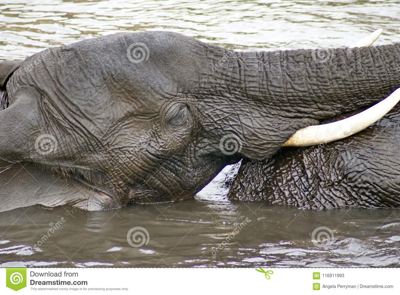 Elephants Having Sex In The River Stock Image Image Of Pachyderm