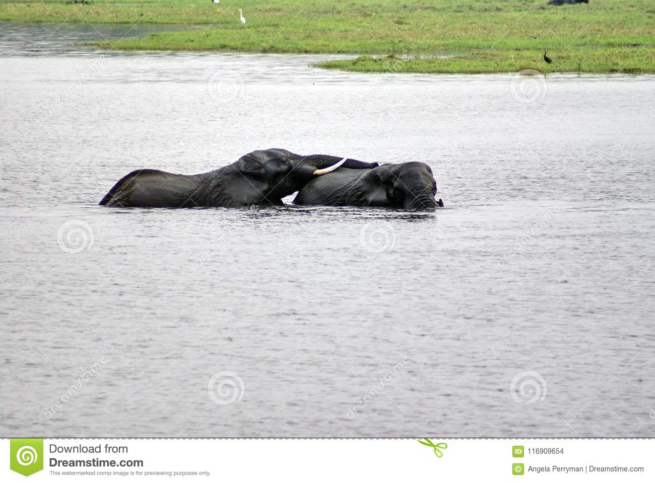Elephants Having Sex In The River Stock Photo Image Of National