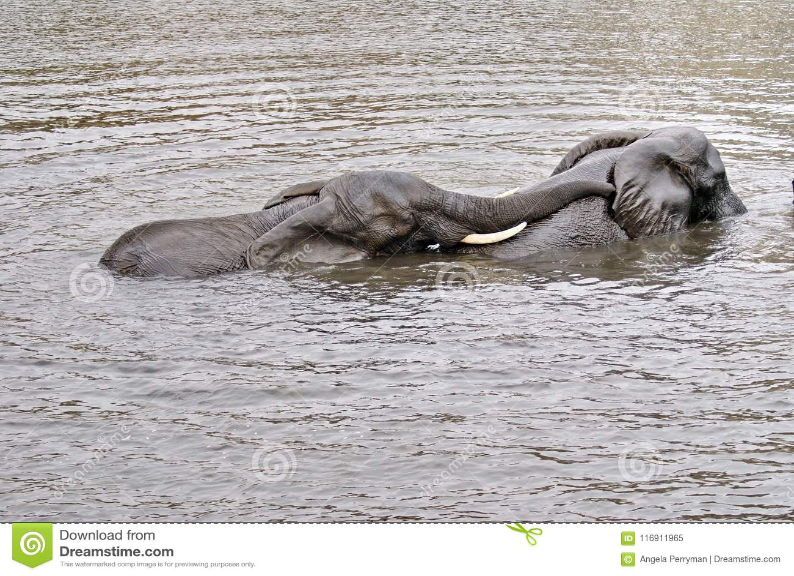 Elephants Having Sex In The River Stock Image Image Of Chobe