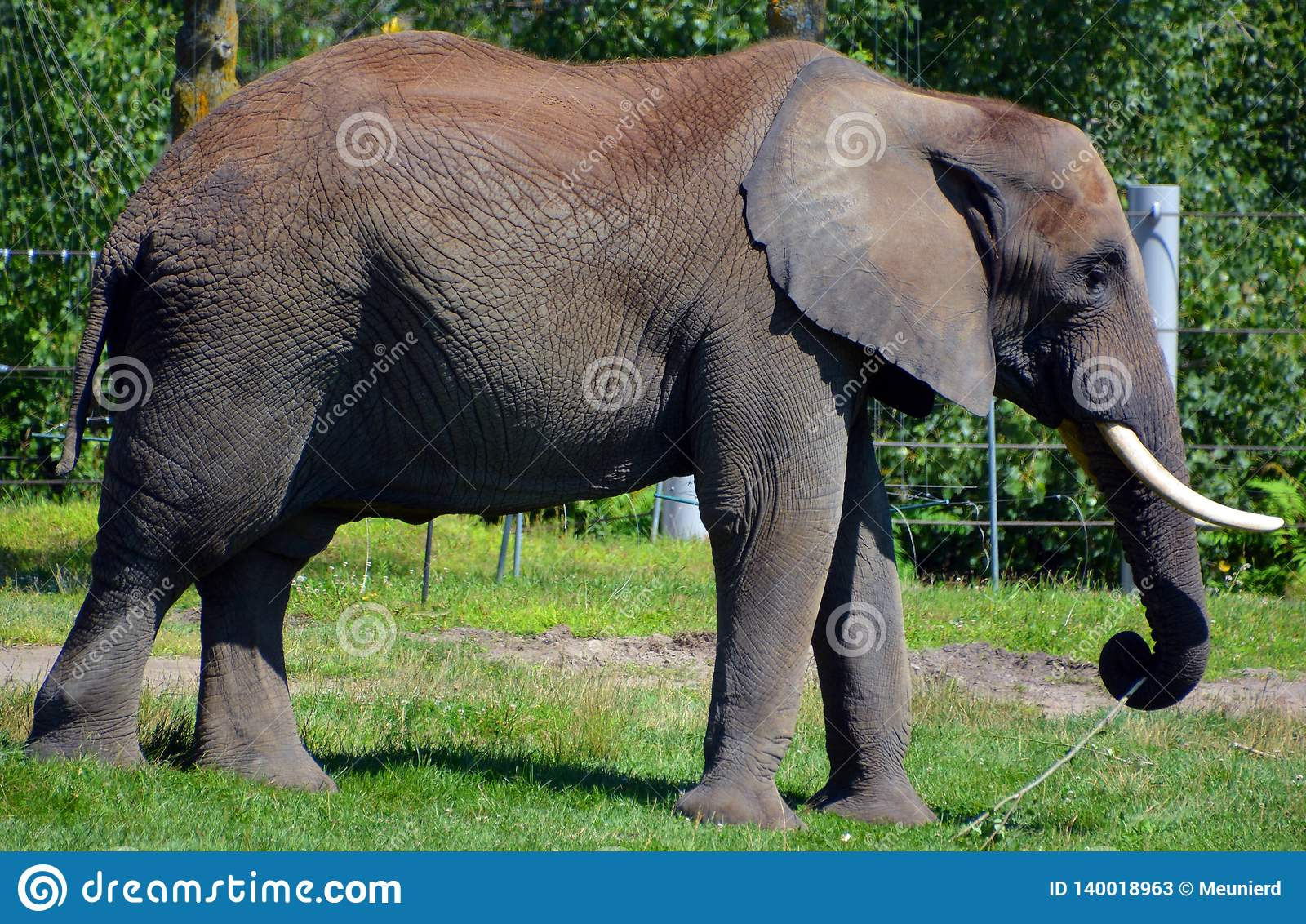 Are Elephants Mammals >> Elephants Are Large Mammals Of The Family Elephantidae Stock Image