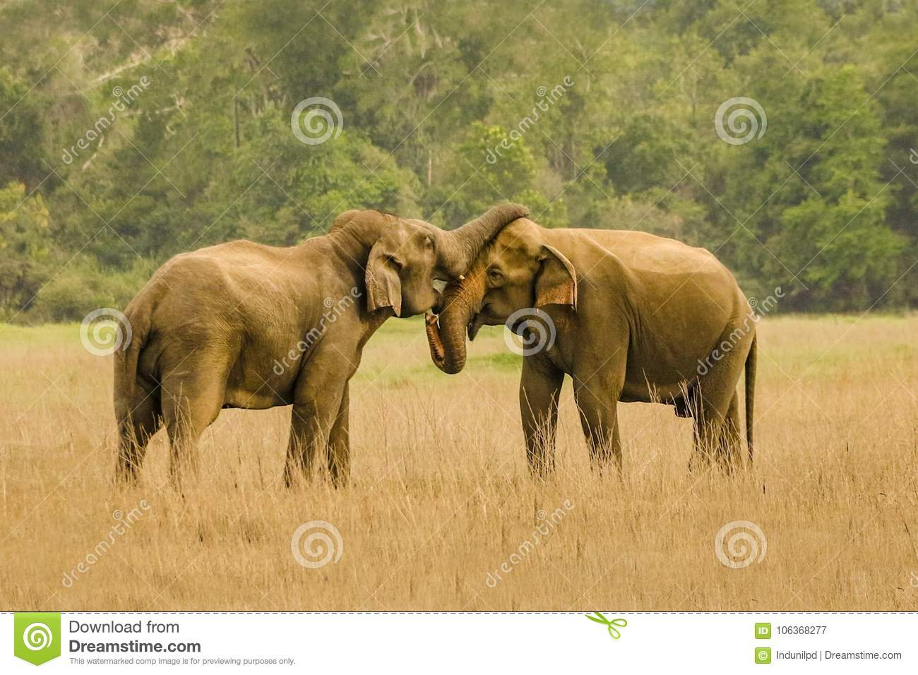 Elephants In Love Stock Image Image Of Together Forest 106368277