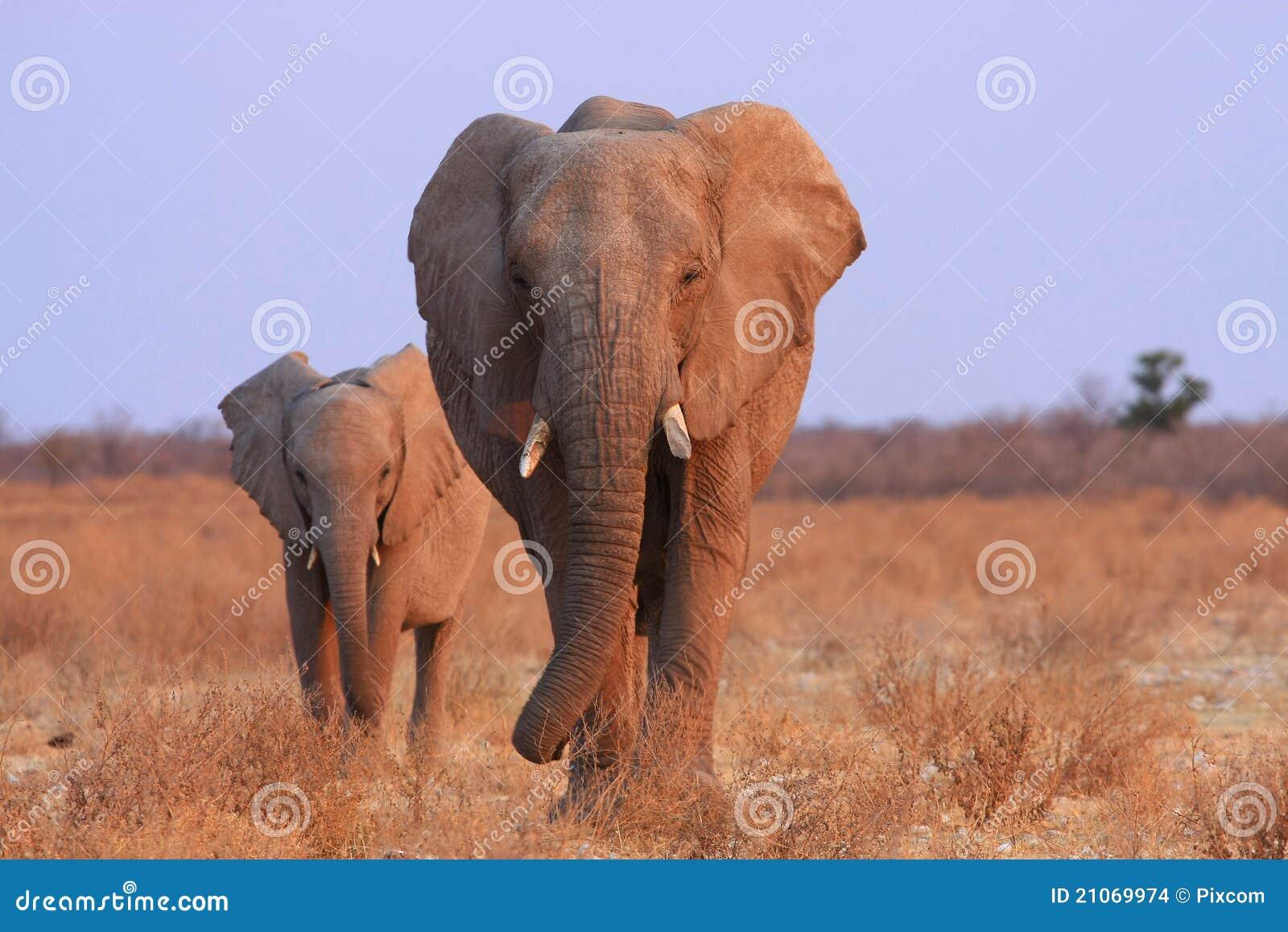 Elephants in Namibia