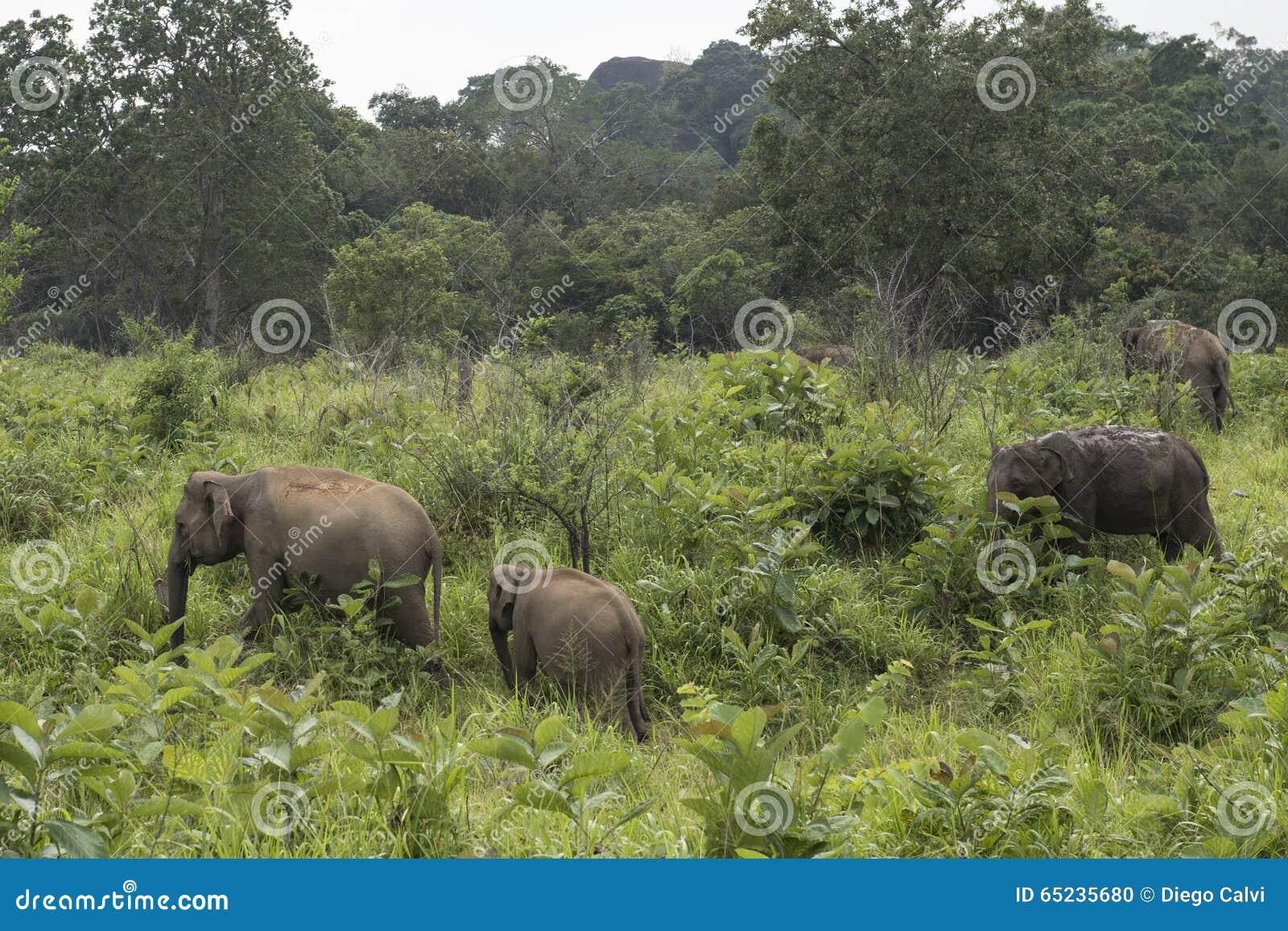 Elephants Safari in Polonnaruwa, Sri Lanka.