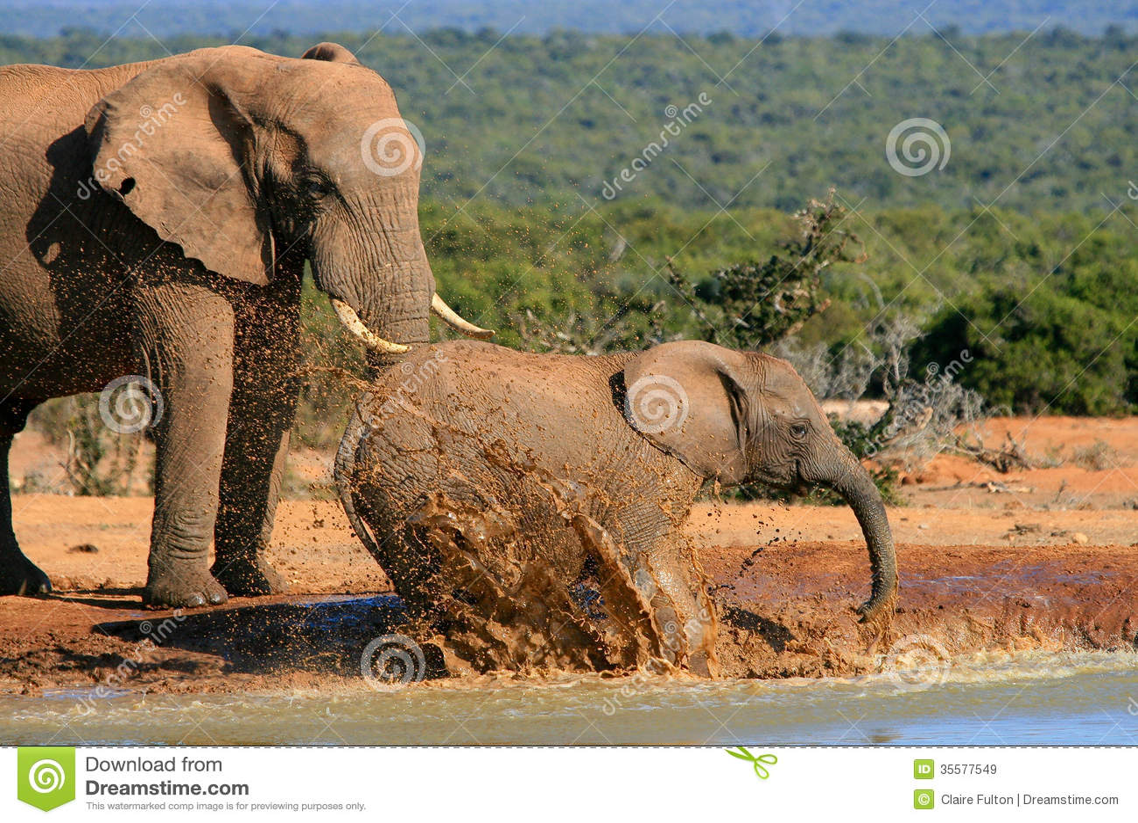 Elephants Splashing Water Stock Image Image Of Pachyderm