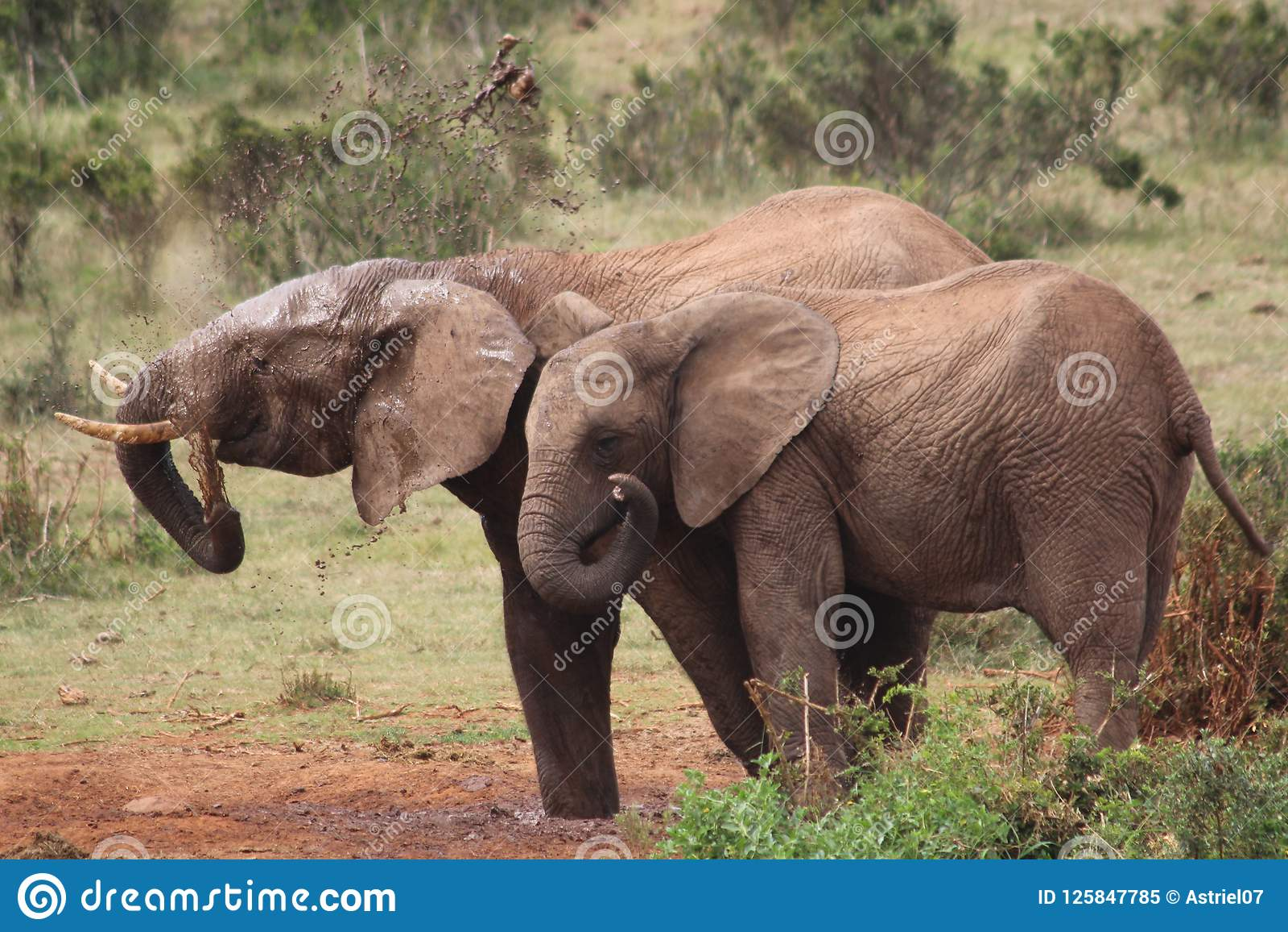 Elephants throwing dirt on backs