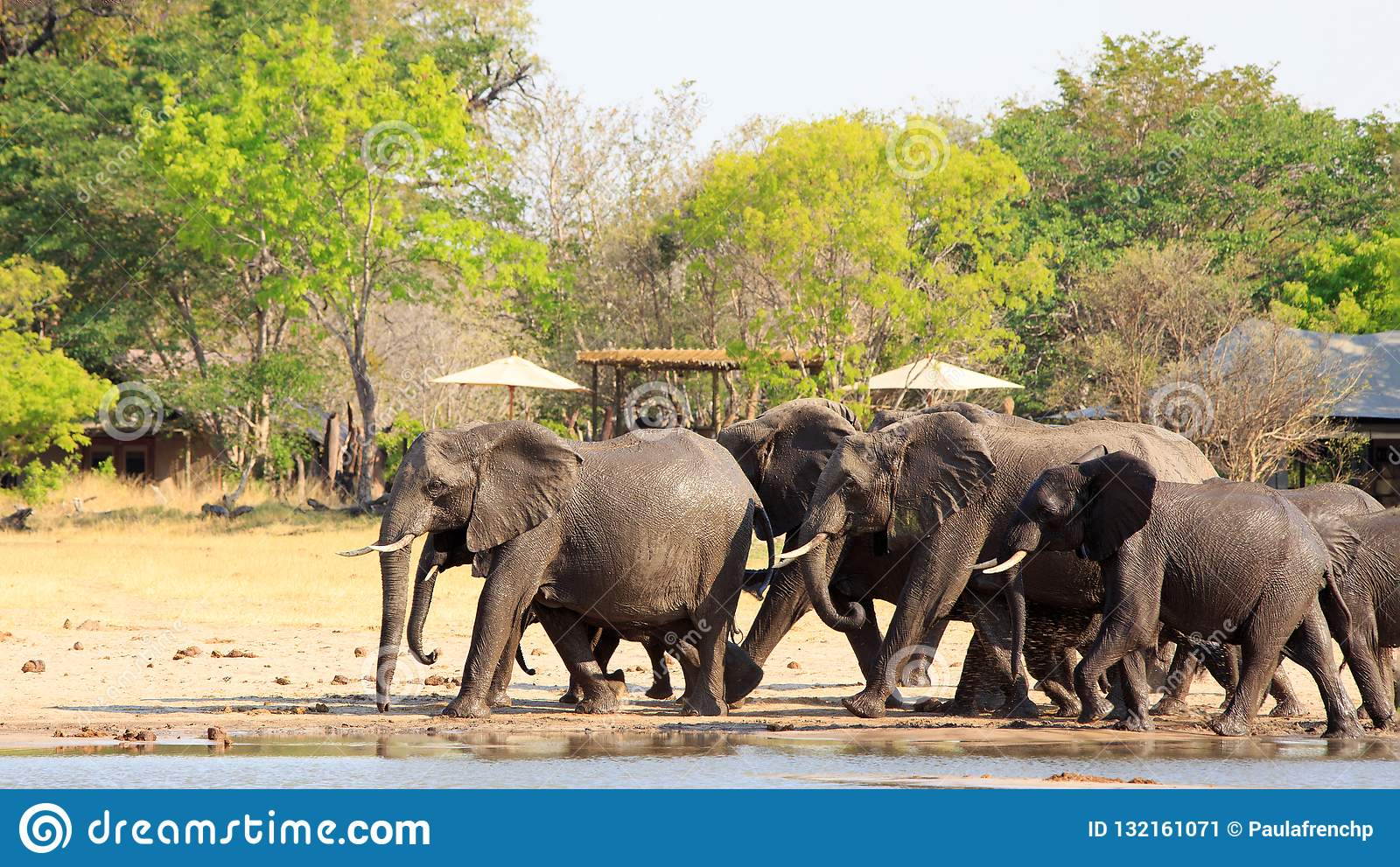 Elephants walking past an african lodge with thatched chalets and parasols in Makololo